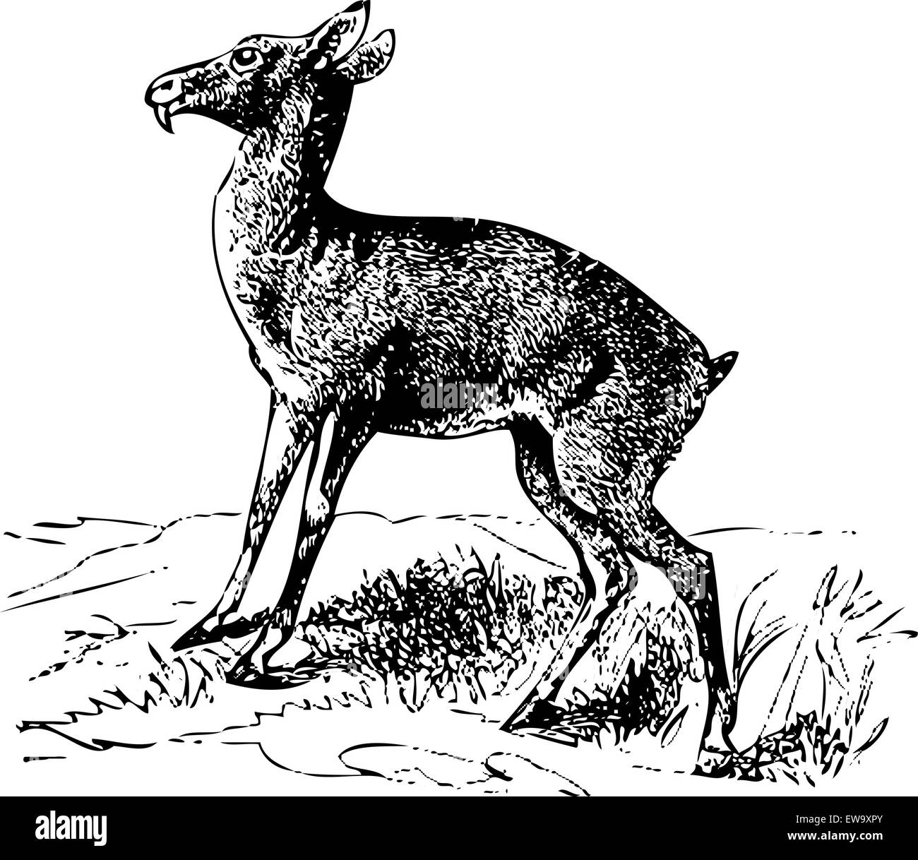 Old engraved illustration of a Siberian musk deer or moschus moschiferus, isolated on white. Live traced. From the - Stock Vector