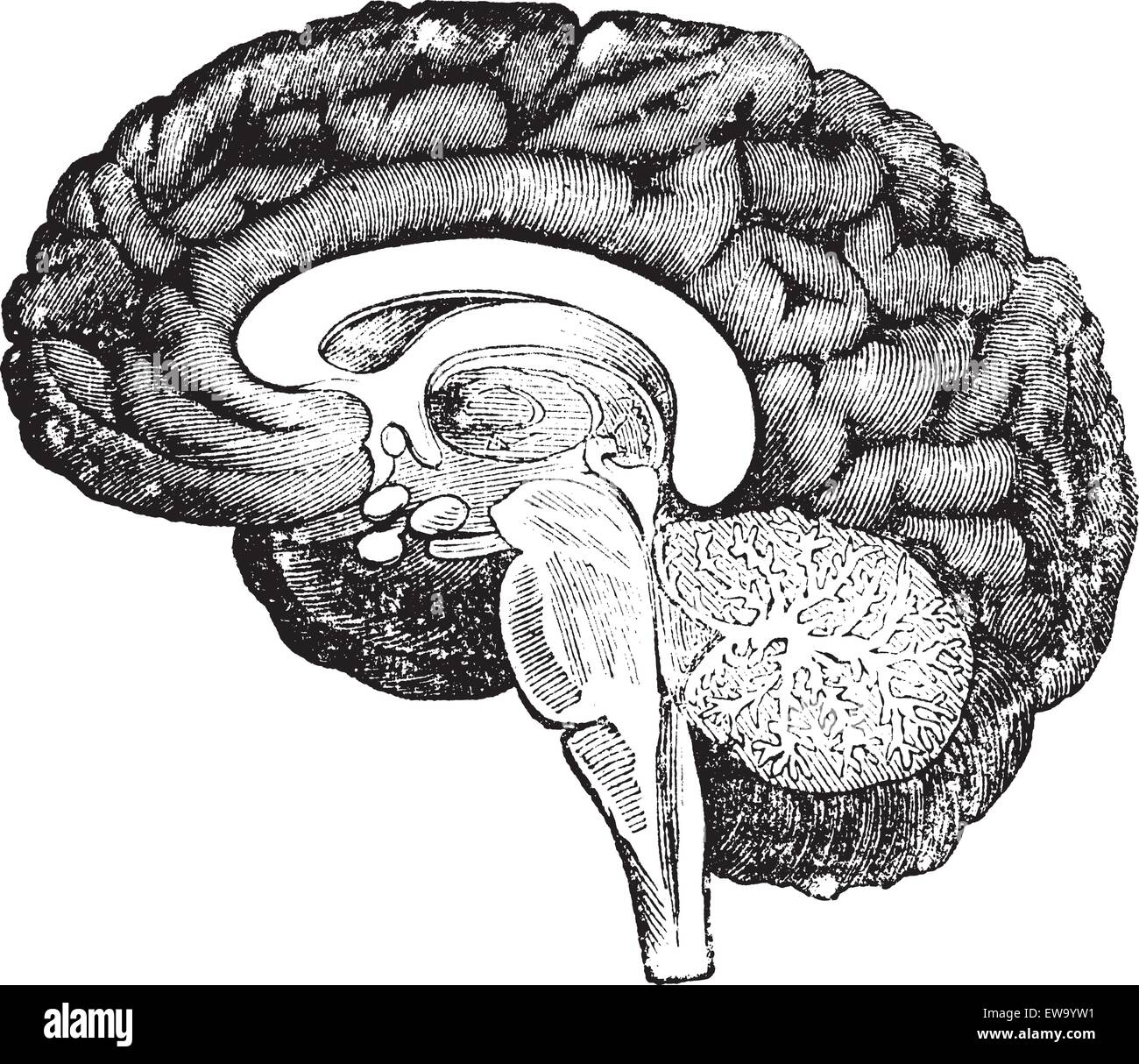 Vertical section of the profile of a human brain vintage engraving, showing the medulla oblongata, pons, cerebellum - Stock Image