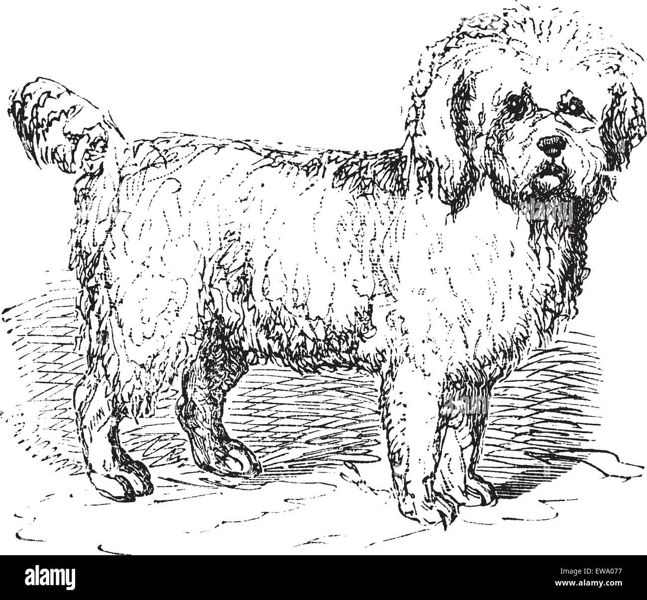 Barbet or Canis lupus familiaris, vintage engraving. Old engraved illustration of a Barbet. - Stock Image