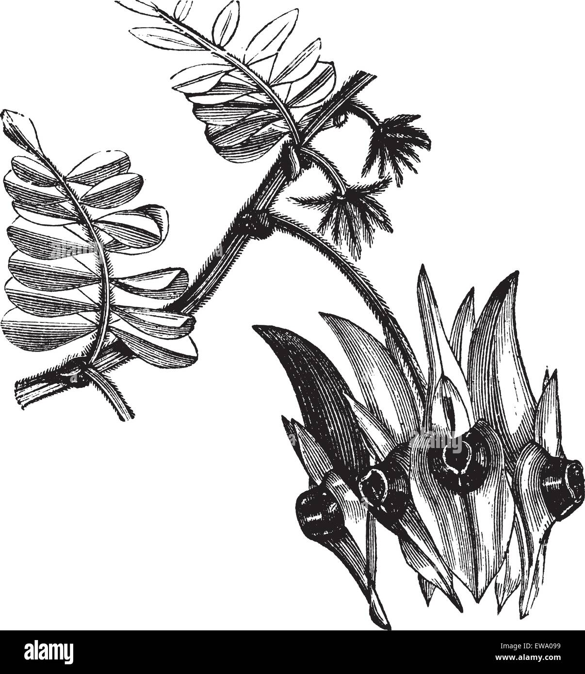Sturt's Desert Pea or Swainsona formosa, vintage engraving. Old engraved illustration of Swainsona formosa showing - Stock Vector