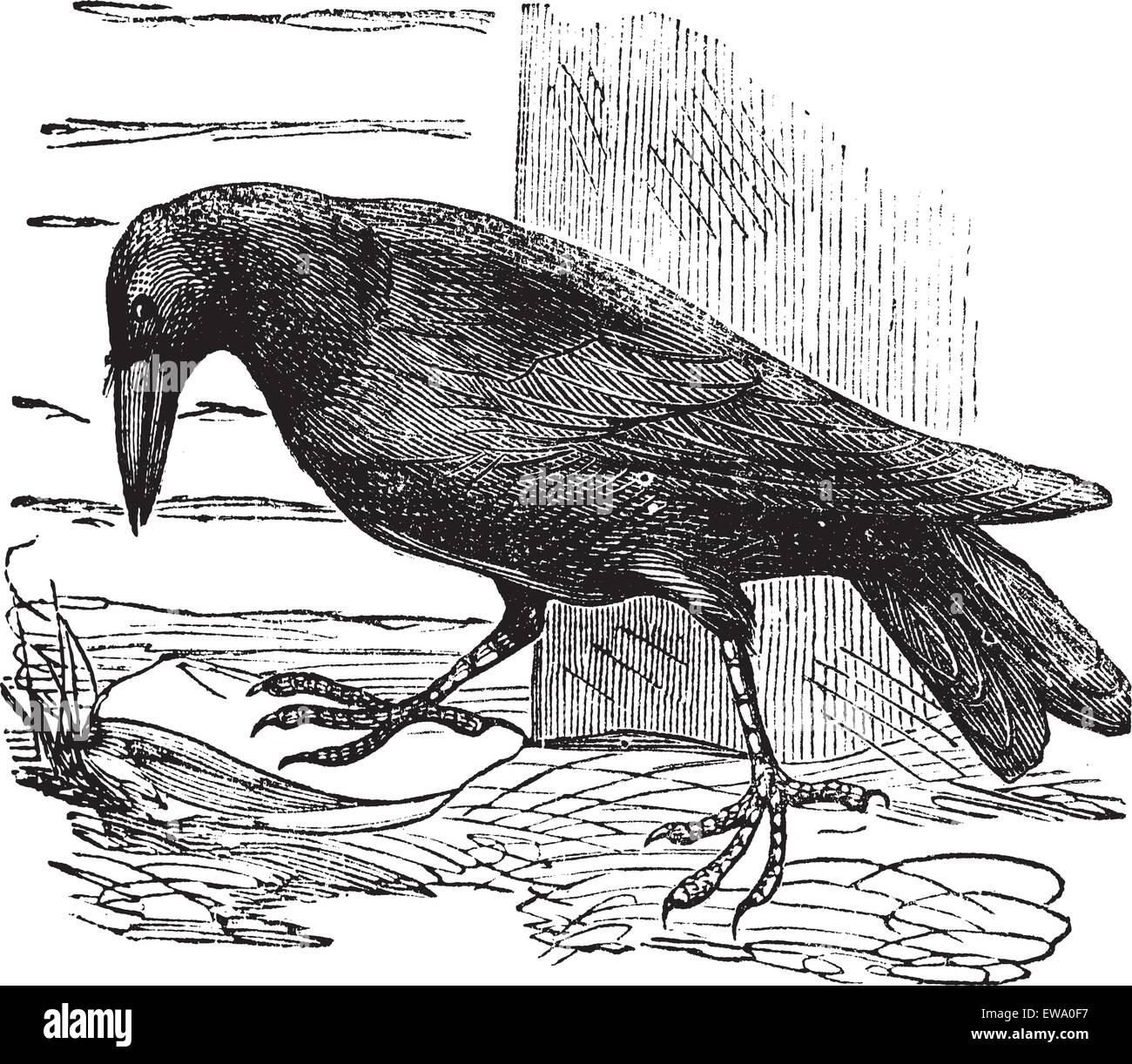 Raven or Corvus sp., vintage engraving. Old engraved illustration of a Raven. - Stock Image