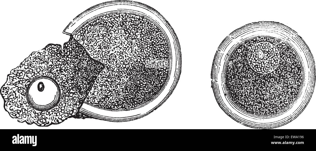 Embryology, vintage engraved illustration. Trousset encyclopedia (1886 - 1891). - Stock Image