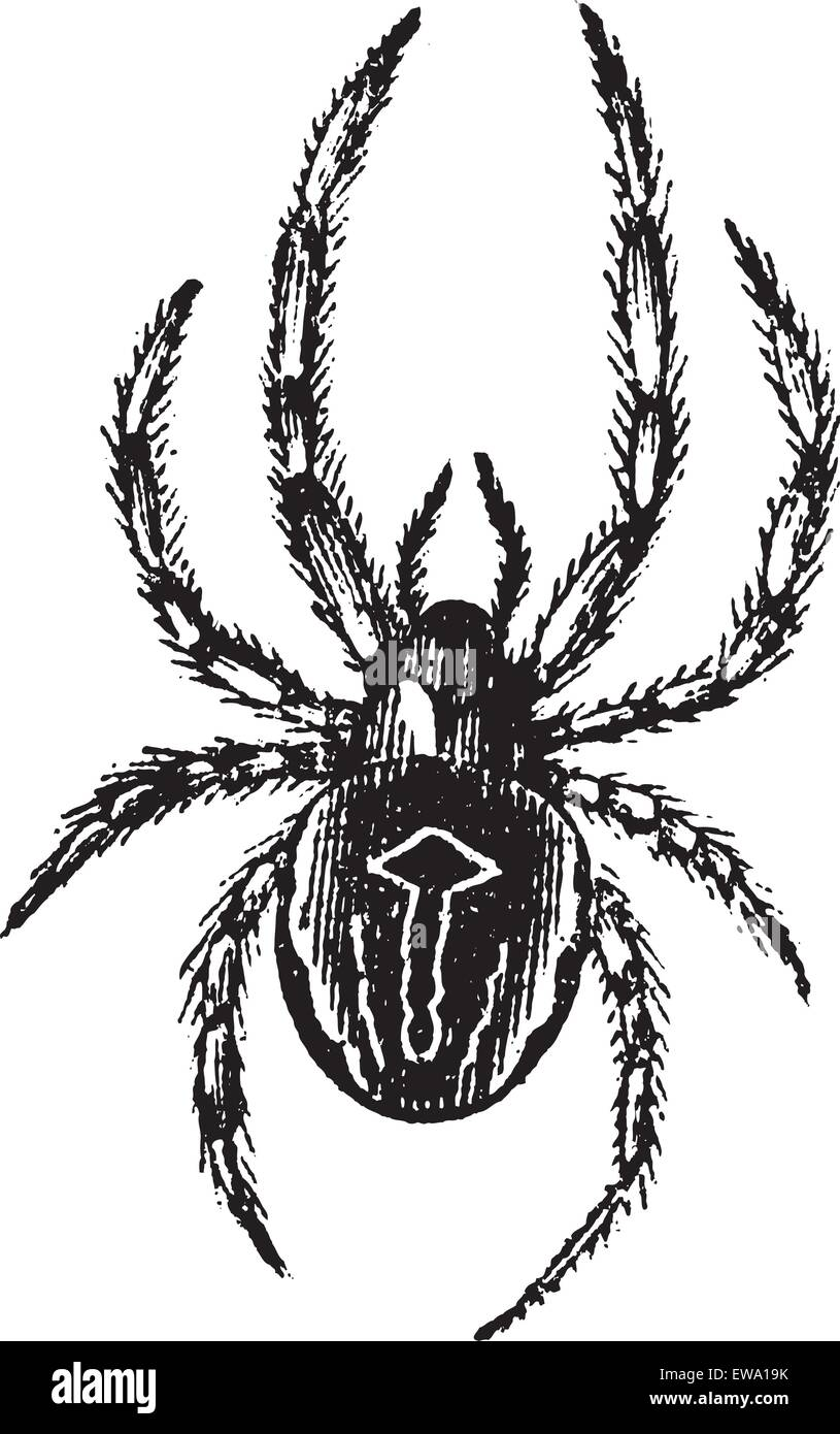 Common Orb-weaving Spider or Common Epeira or Araneus sp., vintage engraving. Old engraved illustration of Common - Stock Vector
