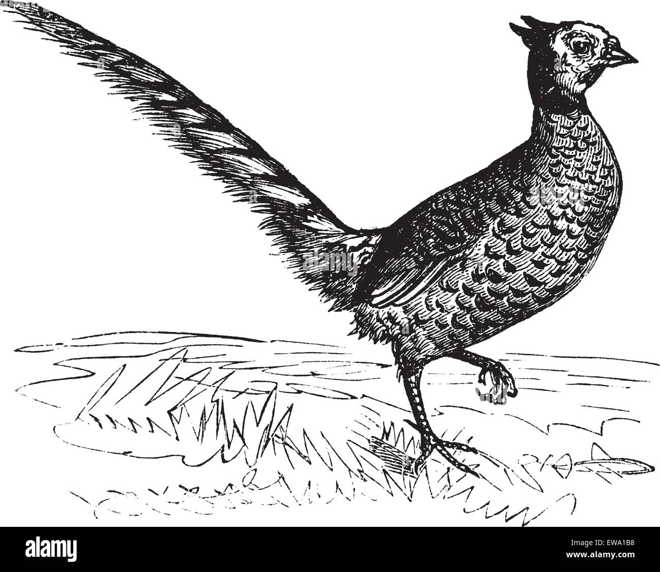 Common Pheasant or Phasianus colchicus, vintage engraving. Old engraved illustration of a Common Pheasant. - Stock Vector