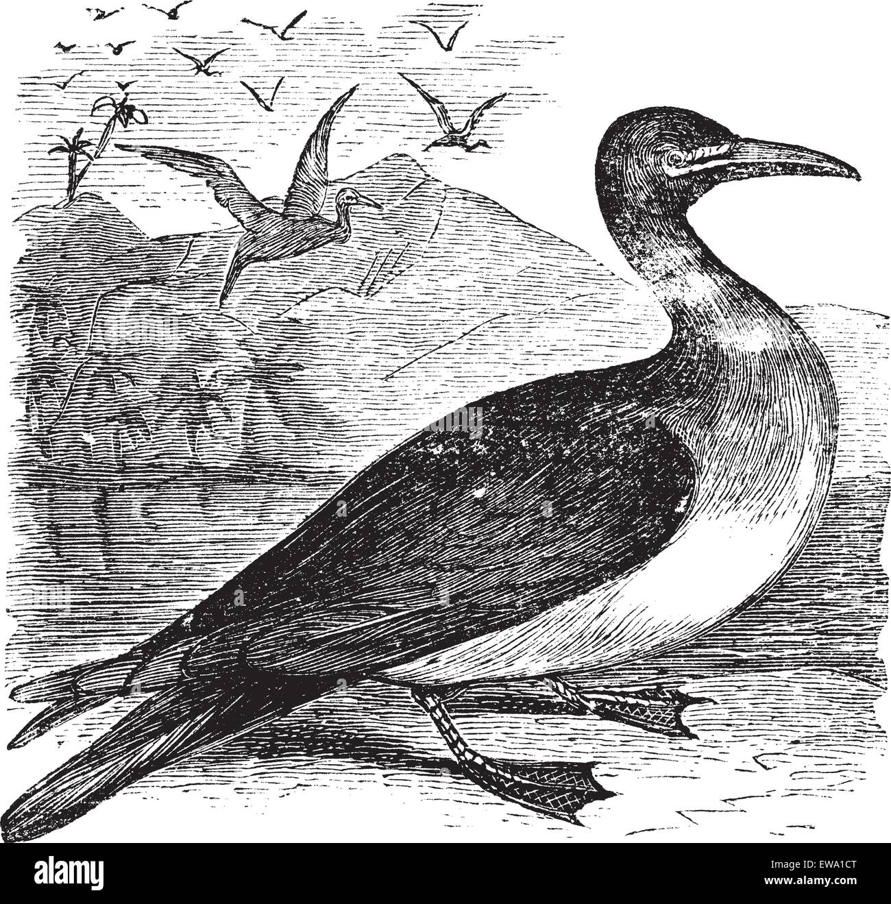 Booby or Sula sp., vintage engraving. Old engraved illustration of a Booby. - Stock Vector