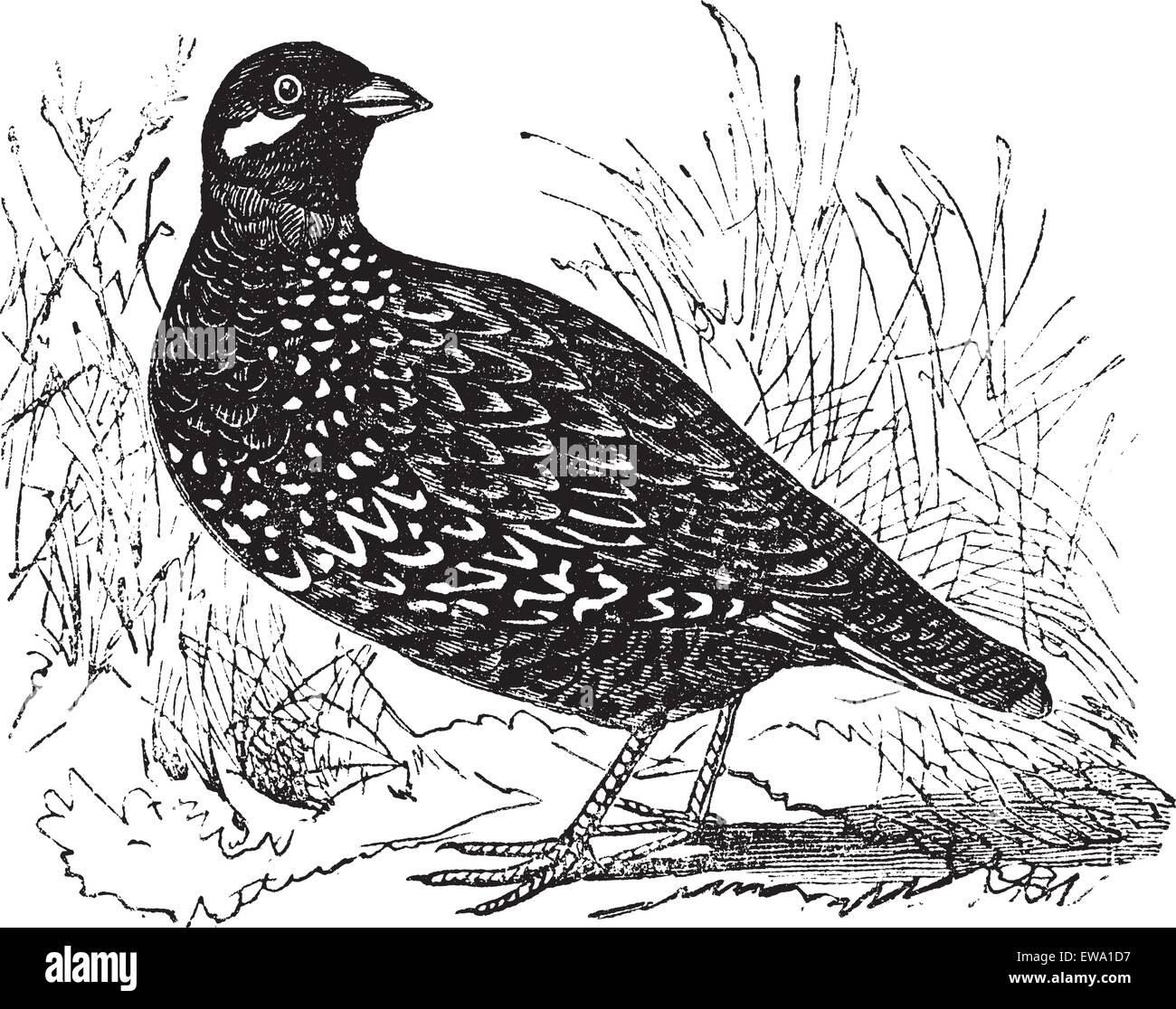 Black Francolin also known as  Francolinus francolinus,  gamebird,  vintage engraved illustration of Black Francolin. - Stock Vector