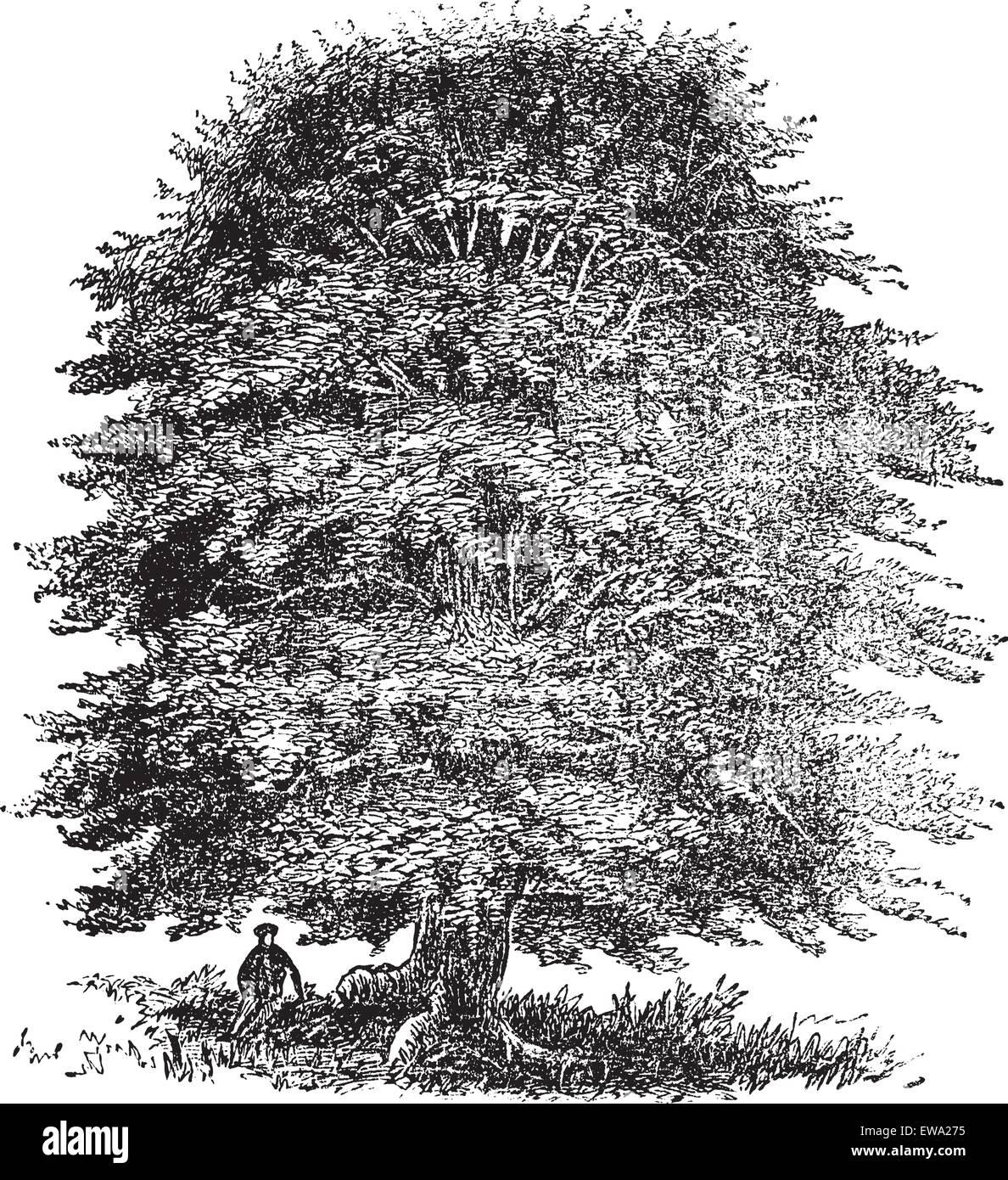 Beech tree vintage engraving old engraved illustration of beech beech tree vintage engraving old engraved illustration of beech tree on white thecheapjerseys Gallery