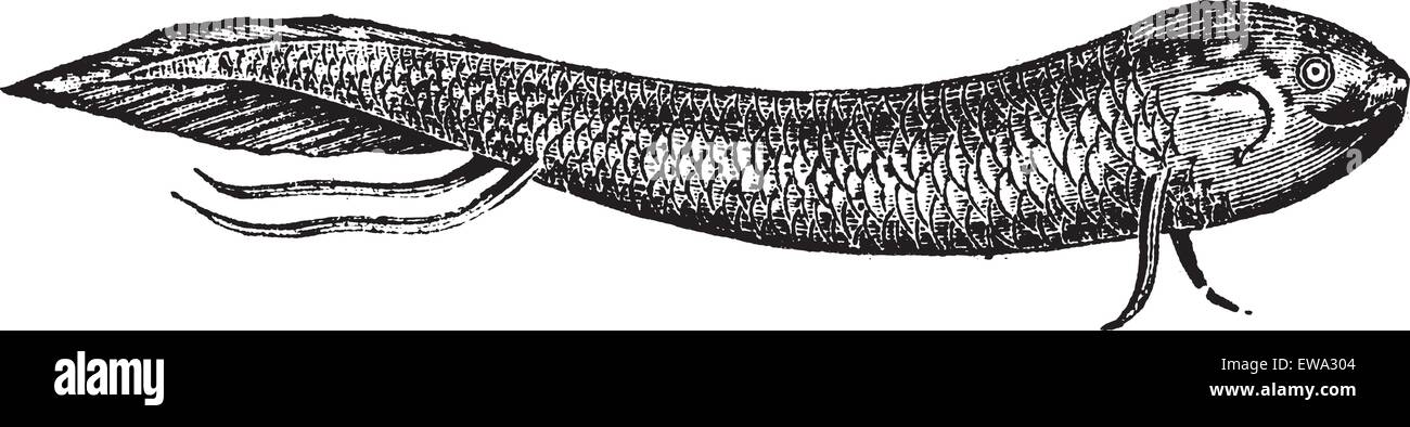 Lepidosiren or South American lungfish or American mud-fish or scaly salamander-fish, vintage engraved illustration. - Stock Image