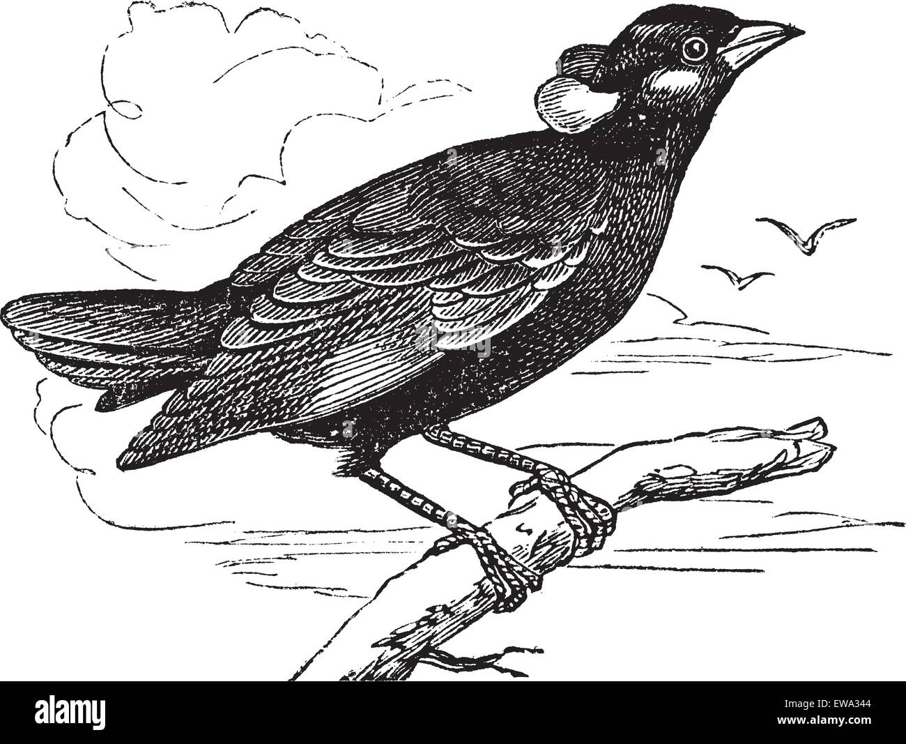 Common Hill Myna or Gracula religiosa or Mynah or Hill Myna, vintage engraving. Old engraved illustration of Common - Stock Vector