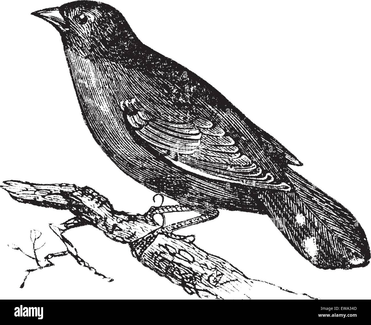 Guianan Red-Cotinga or Phoenicircus carnifex, vintage engraving. Old engraved illustration of Guianan Red-Cotinga - Stock Vector