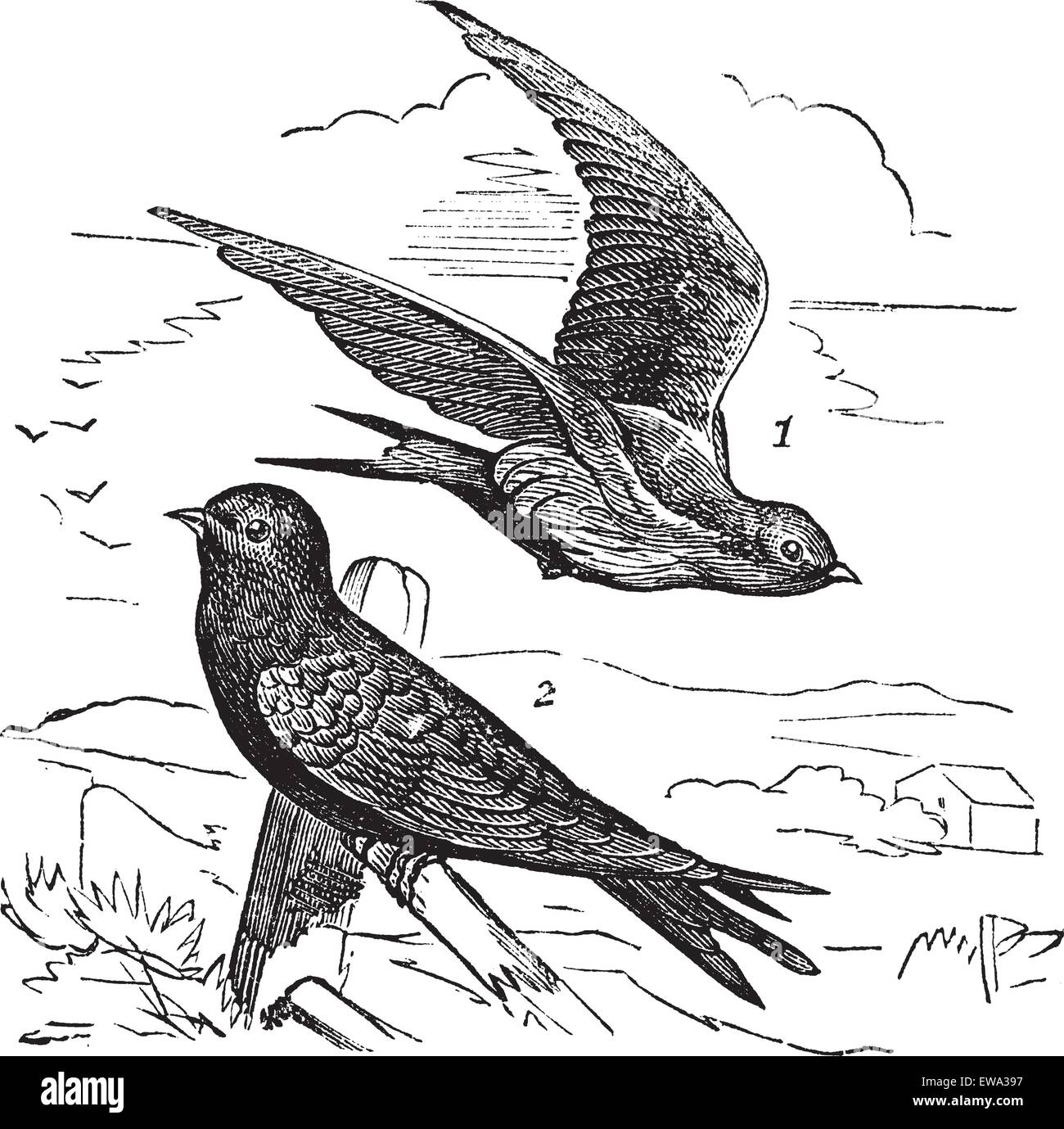 Common Swift or Apus apus, vintage engraving. Old engraved illustration of Common Swift female (1) flying and male - Stock Vector