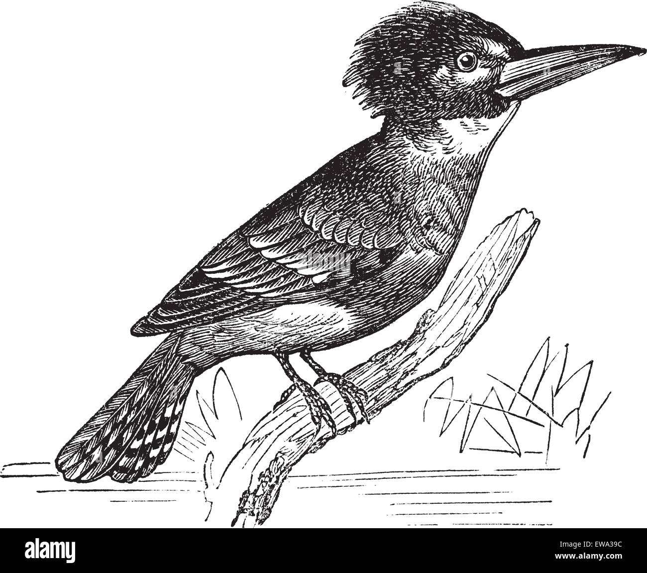 Belted Kingfisher or Megaceryle alcyon or Ceryle alcyon, vintage engraving. Old engraved illustration of Belted - Stock Vector