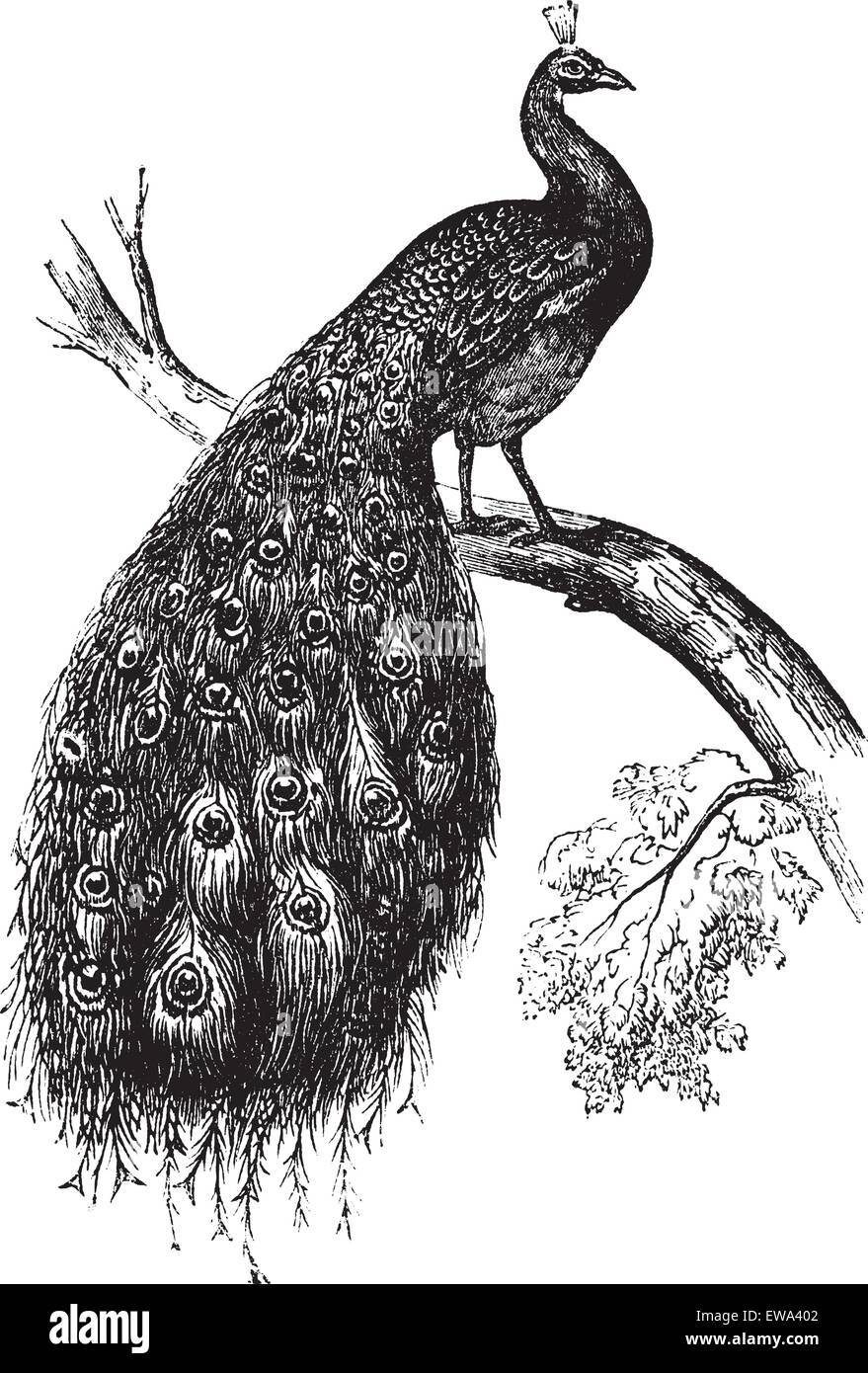 Indian Peafowl or Blue Peafowl or Pavo cristatus, vintage engraved illustration. Trousset encyclopedia (1886 - 1891). - Stock Image