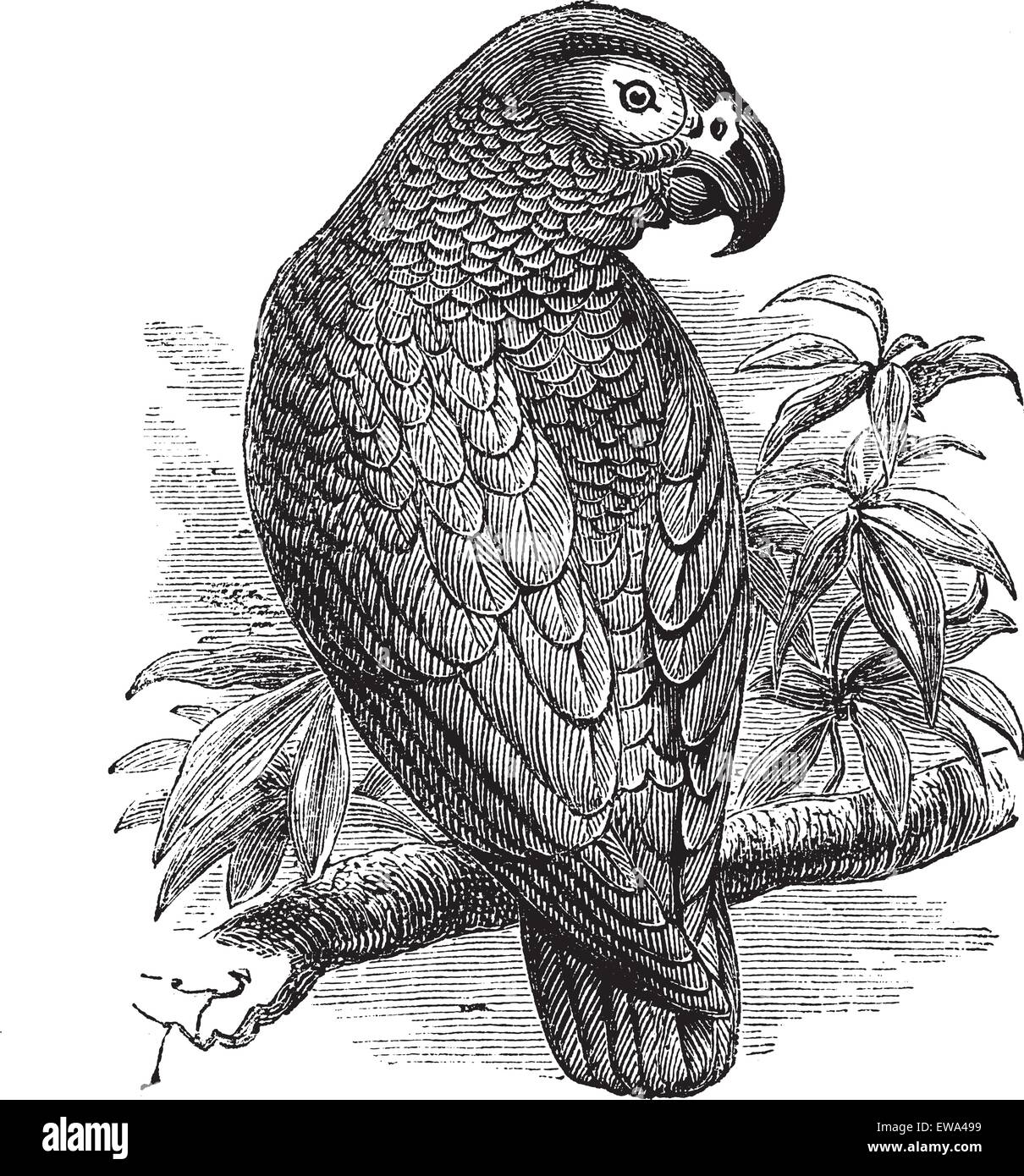 African Grey Parrot or Psittacus erithacus or Grey Parrot, vintage engraving. Old engraved illustration of African - Stock Vector