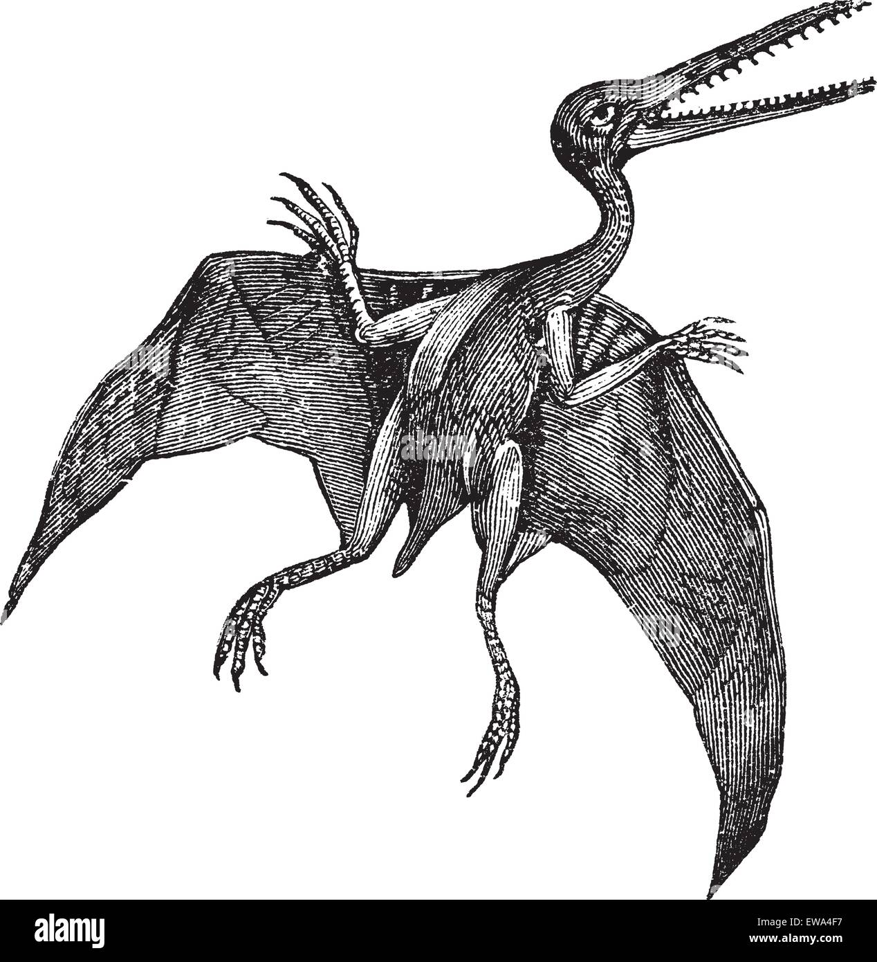 Pterodactylus or Pterodactylus antiquus, vintage engraving. Old engraved illustration of Pterodactylus isolated - Stock Image