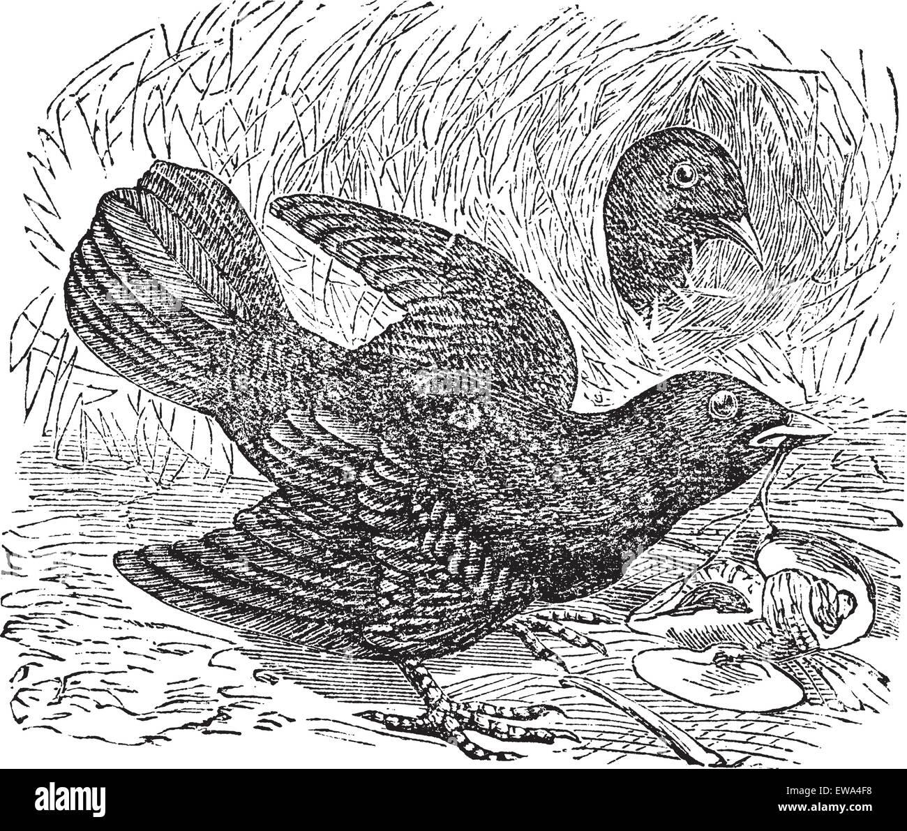 Satin Bowerbird or Ptilonorhynchus violaceus, vintage engraving. Old engraved illustration of  two Satin Bowerbird - Stock Vector