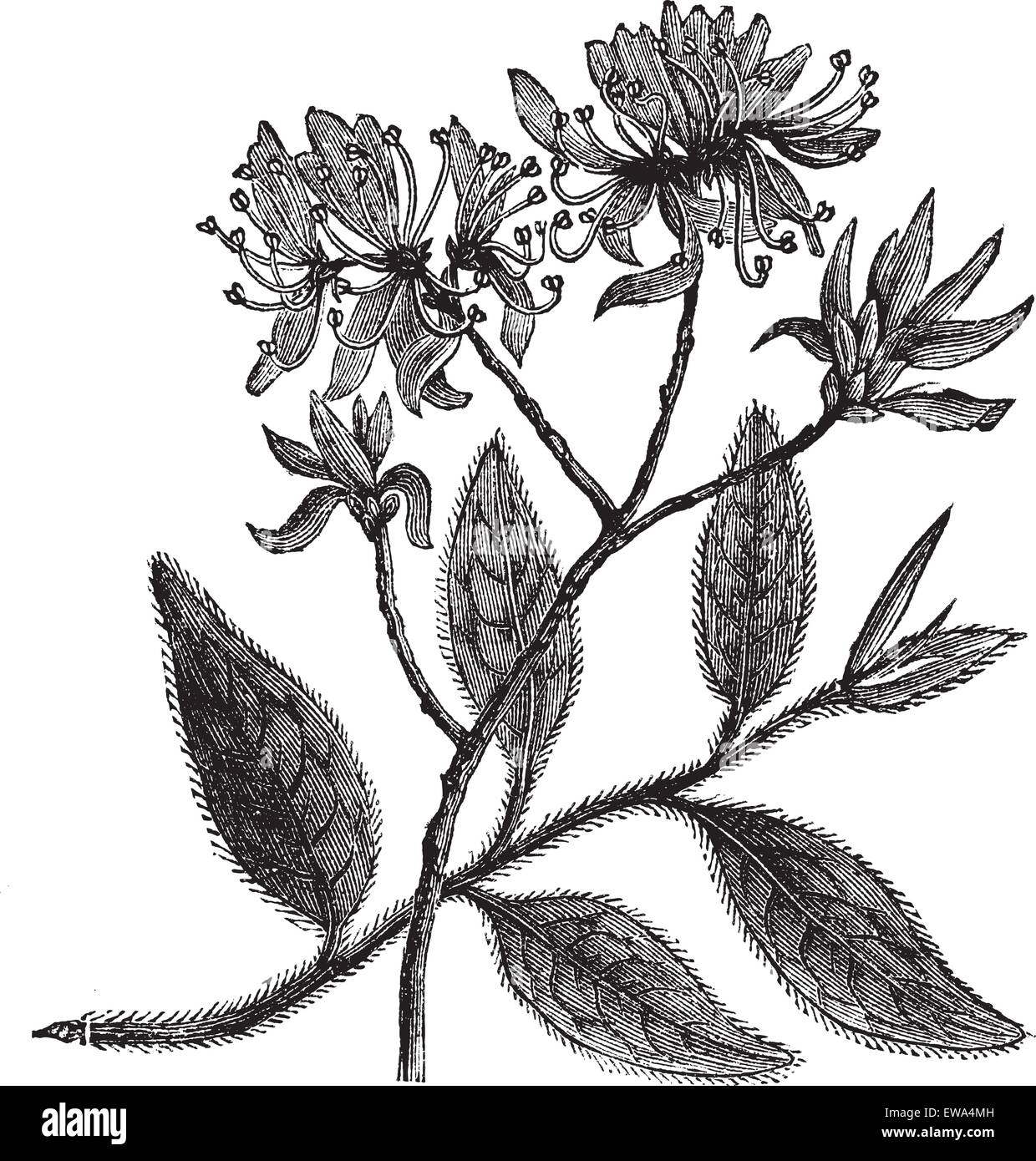 Rhodora or Rhododendron canadense, vintage engraving. Old engraved illustration of Rhodora isolated on a white background. - Stock Vector