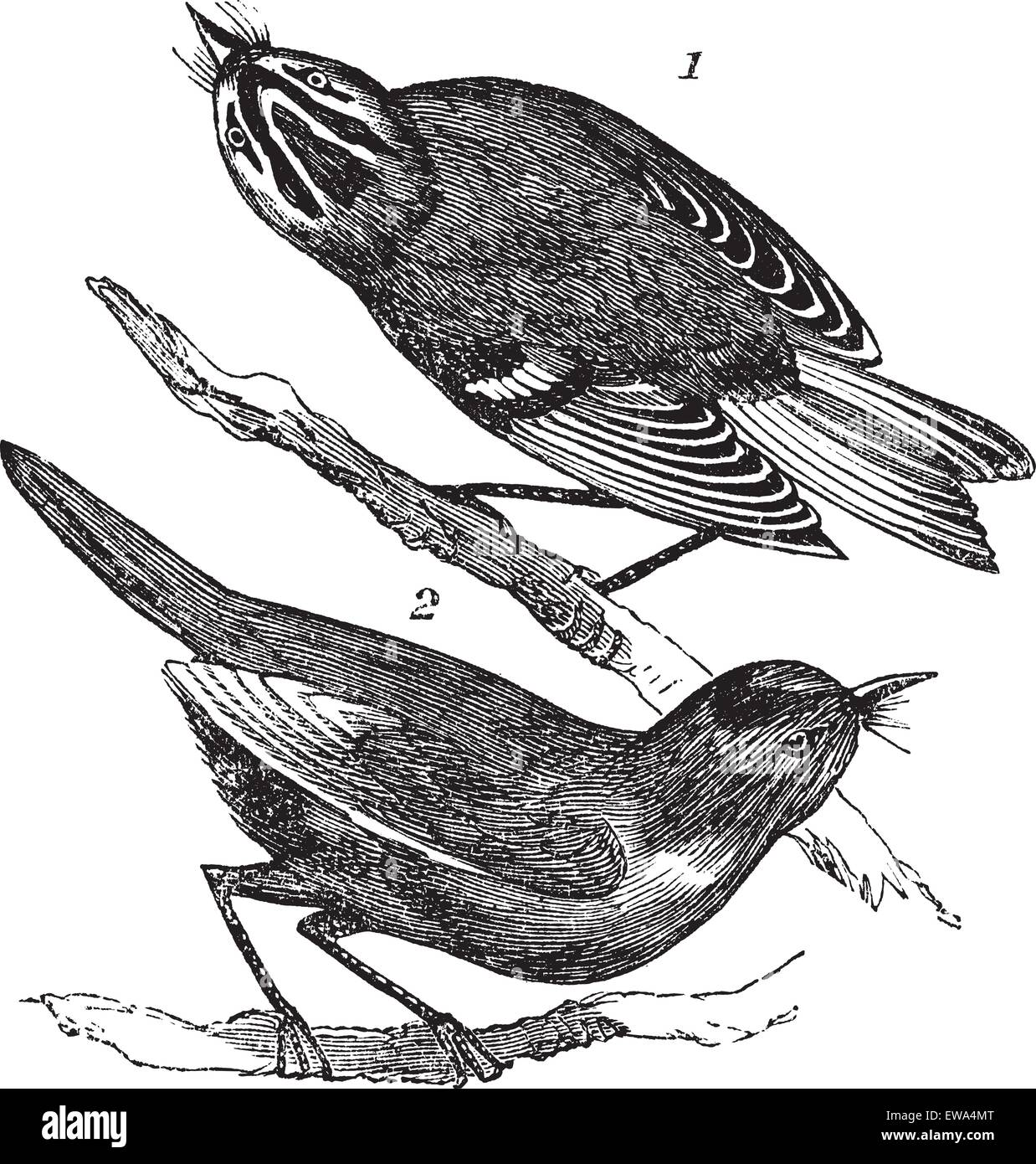 Golden-crowned Kinglet or Regulus satrapa and Ruby-crowned Kinglet or Regulus calendula, vintage engraving. Old - Stock Vector