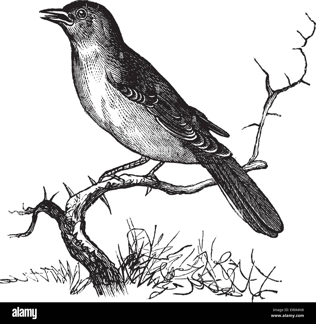 Nightingale or Luscinia megarhynchos or Rufous or Common Nightingale, vintage engraving. Old engraved illustration - Stock Vector