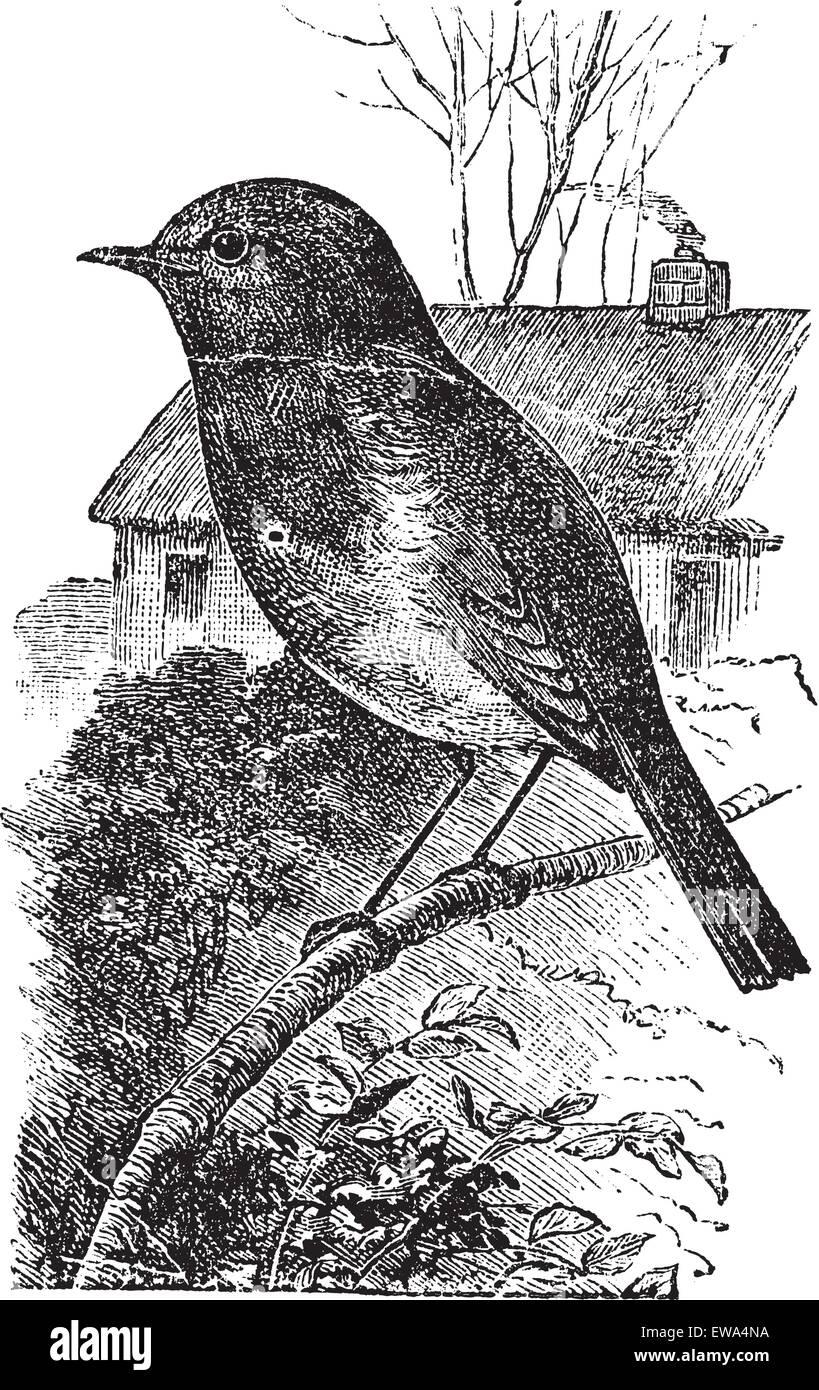 European Robin or Erithacus rubecula or Robin, vintage engraving. Old engraved illustration of European Robin waiting - Stock Vector