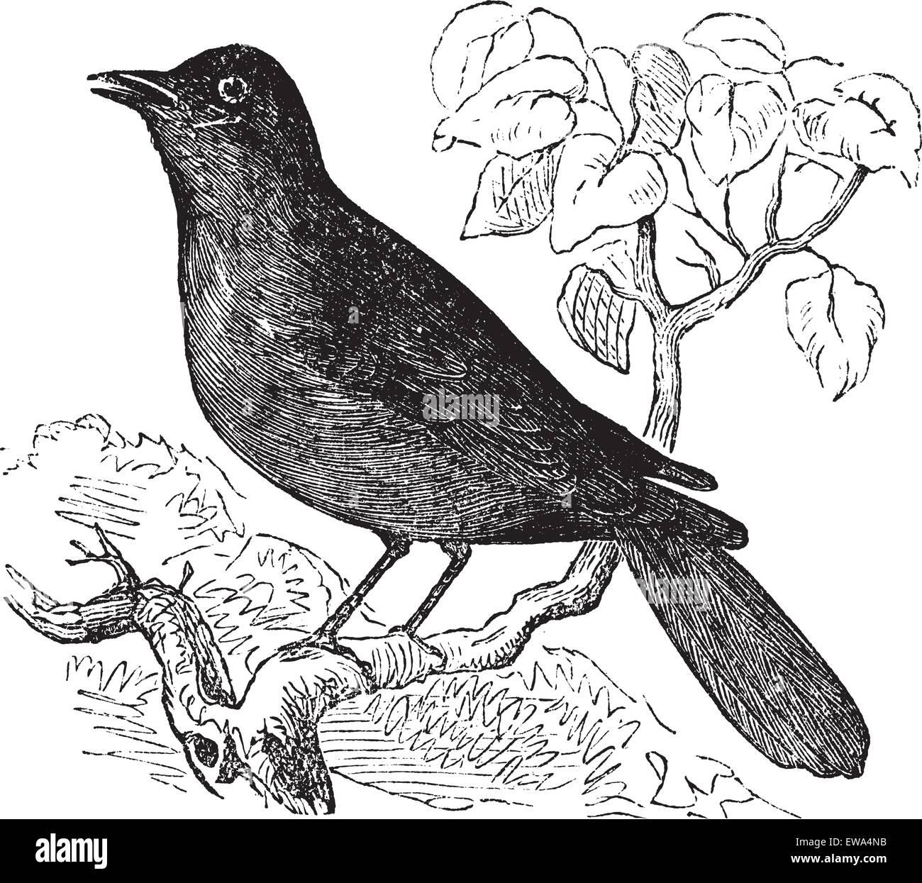 Great Reed Warbler or Acrocephalus arundinaceus, vintage engraving. Old engraved illustration of Great Reed Warbler - Stock Vector