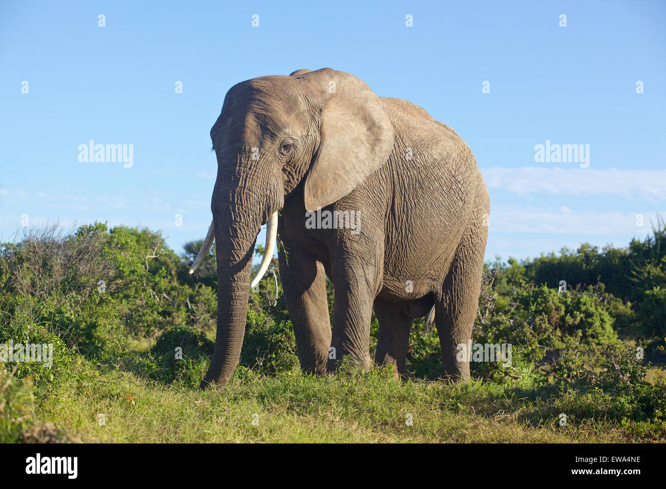 Close encounter with an elephant in Addo Elephant National Park, South Africa. - Stock Image