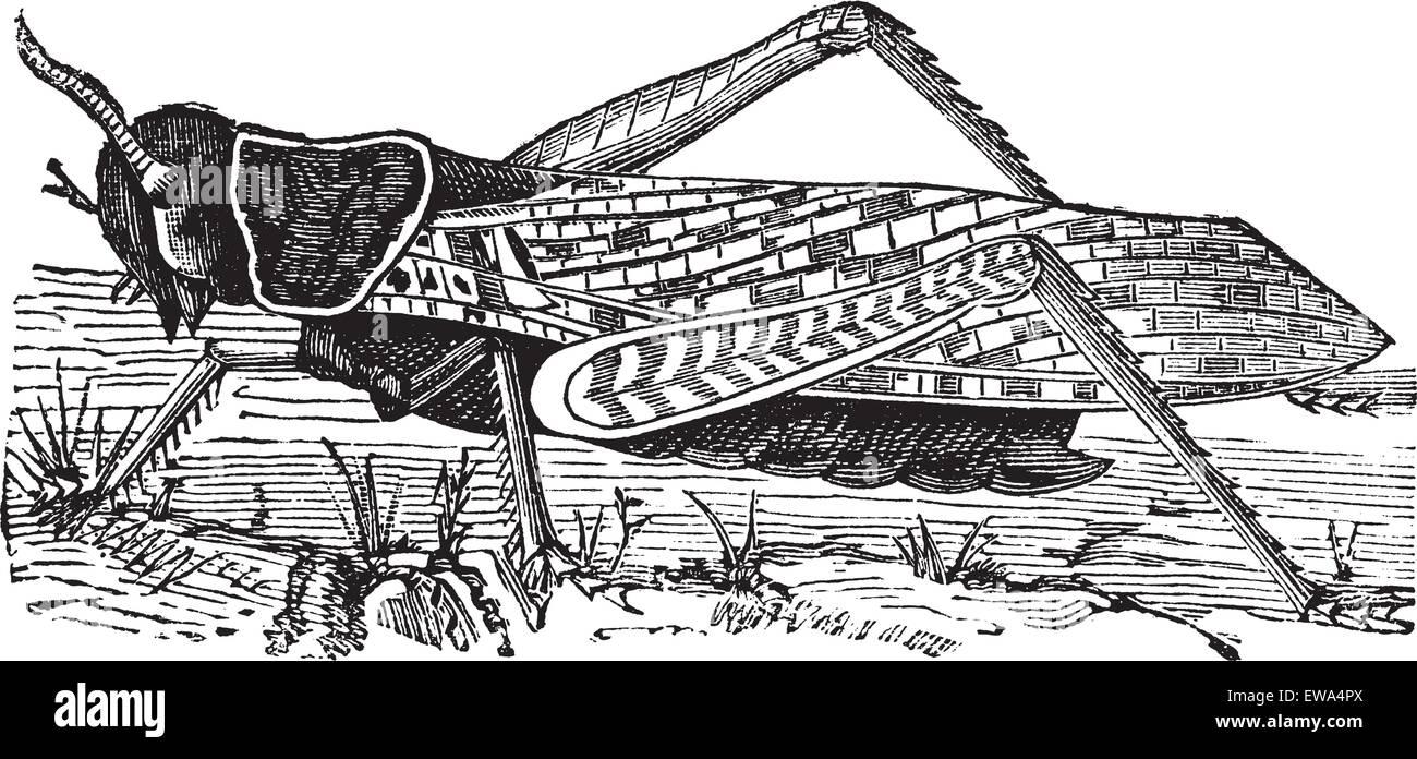 Migratory locust or Locusta migratoria or Acridium migratorium or Acridium plorans or Pachytylus australis or Pachytylus - Stock Vector