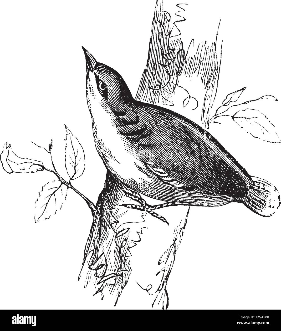 Eurasian Nuthatch or Sitta europaea or Nuthatch, vintage engraving.  Old engraved illustration of Eurasian Nuthatch - Stock Vector