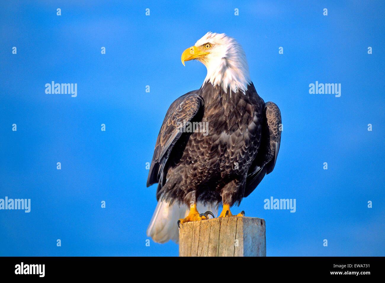 Bald Eagle sitting on post near water, Alaska - Stock Image