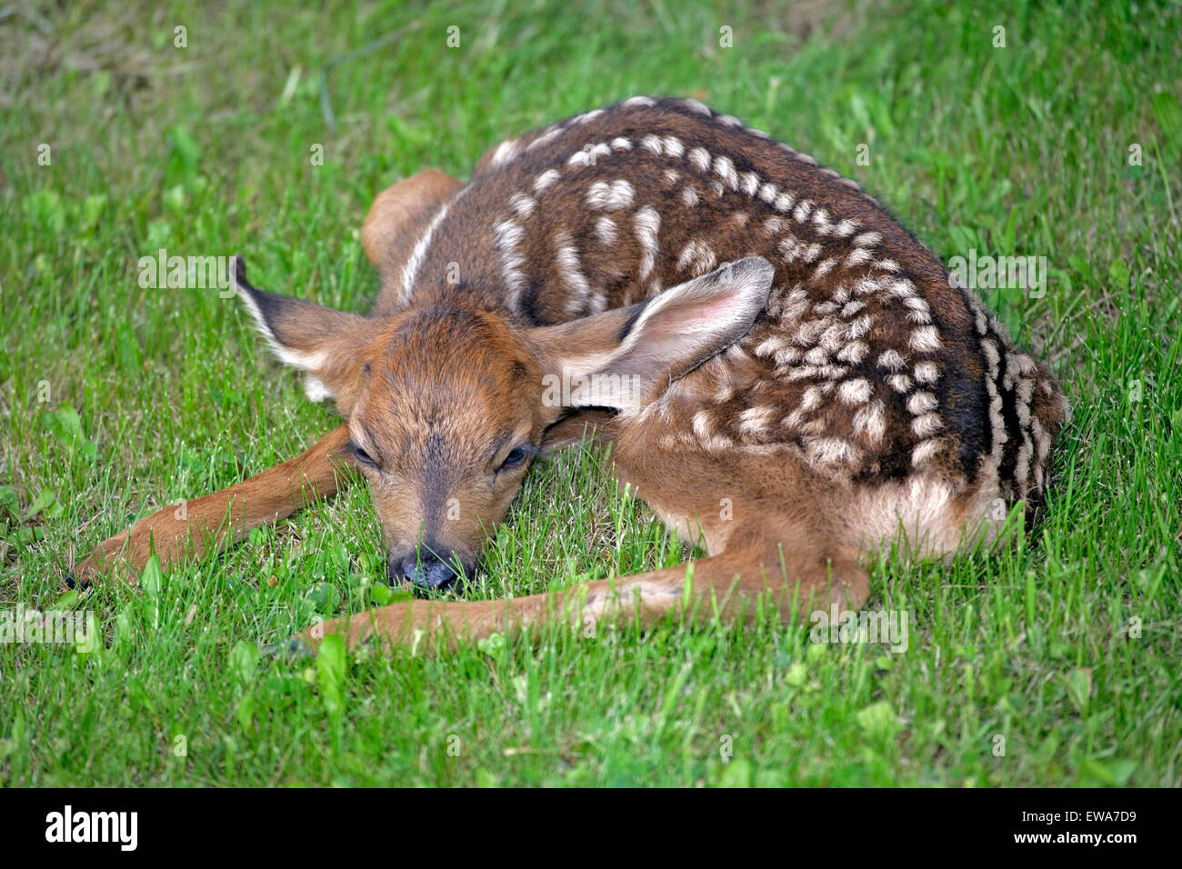 Mule Deer Fawn, few days old resting in grass (Odocoileus hemionus ) Stock Photo