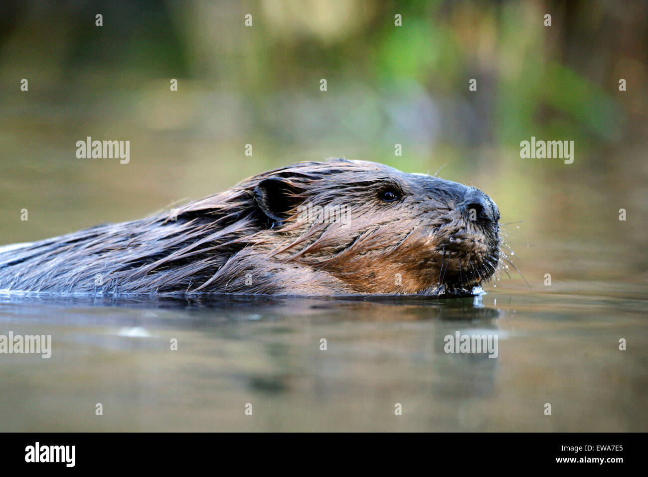 Beaver large adult swimming in pond, portrait close up - Stock Image