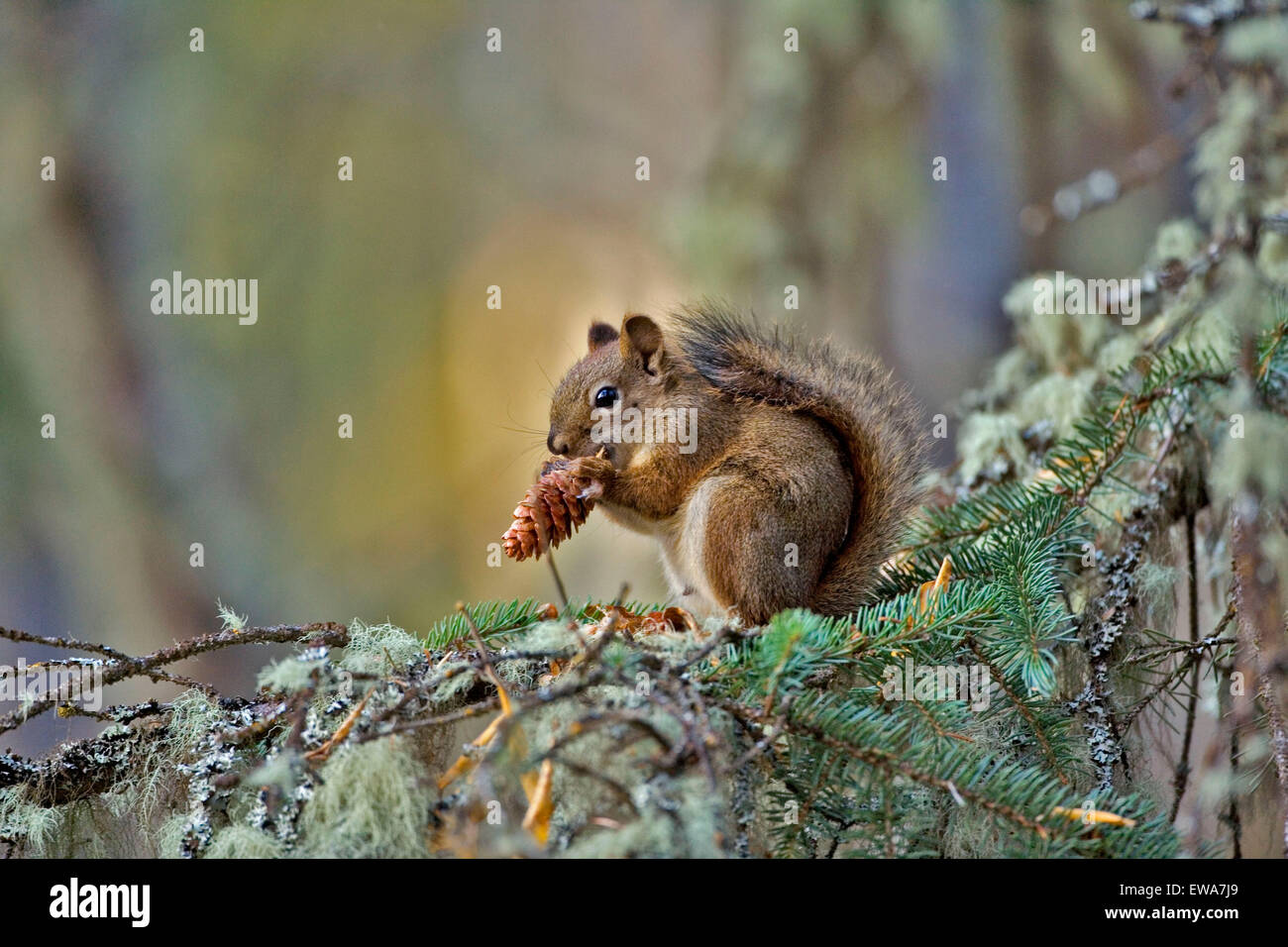 Red Squirrel in tree, feeding on cone seeds Stock Photo