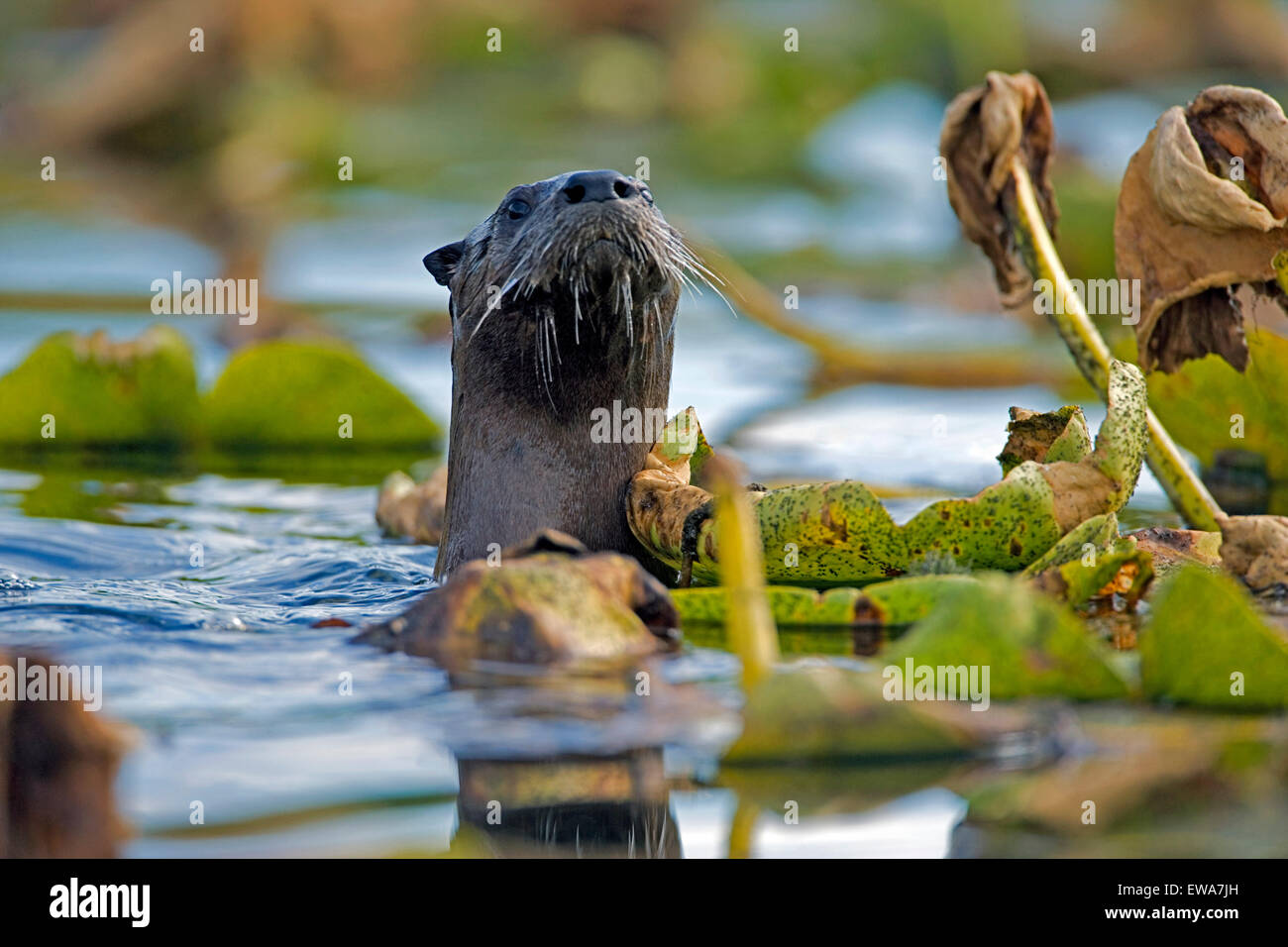 River Otter swimming among water lilies, watching,alert (Lutra canadensis ) - Stock Image