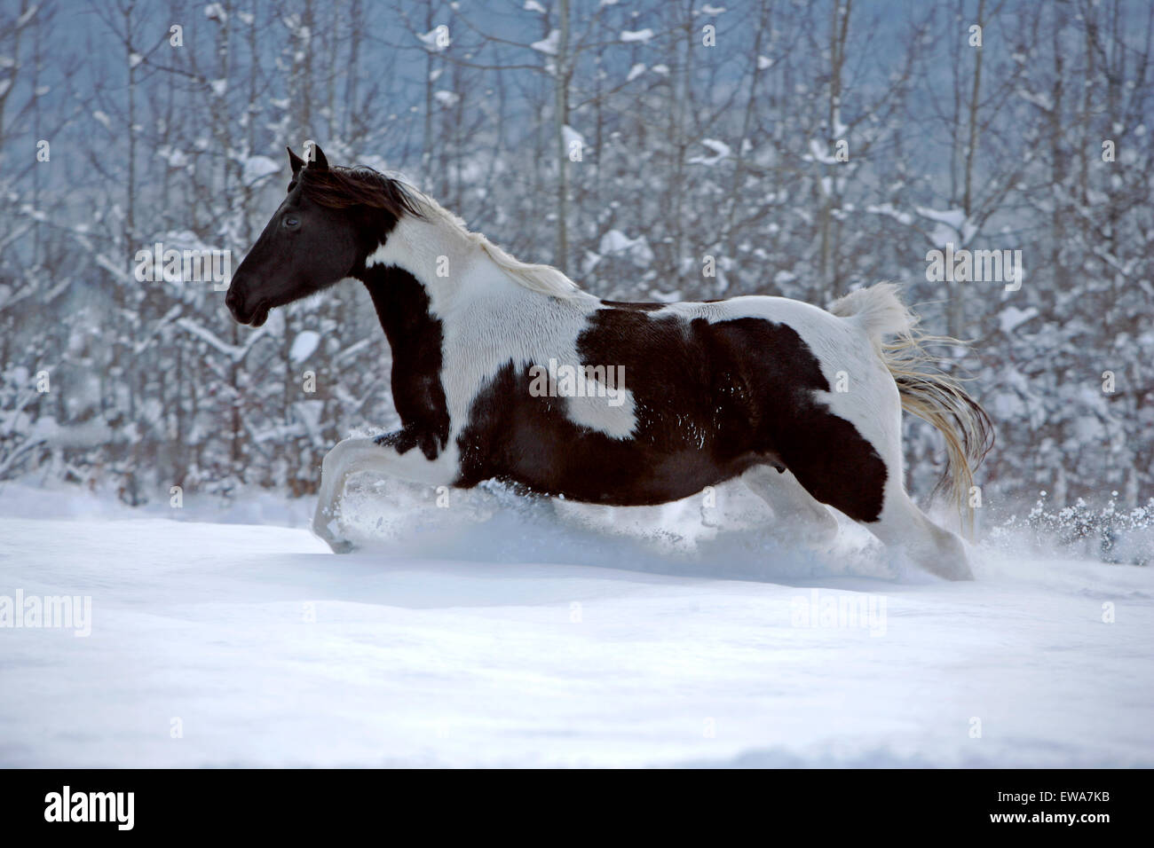 Black and white Paint Foal running in meadow in fresh snow Stock Photo