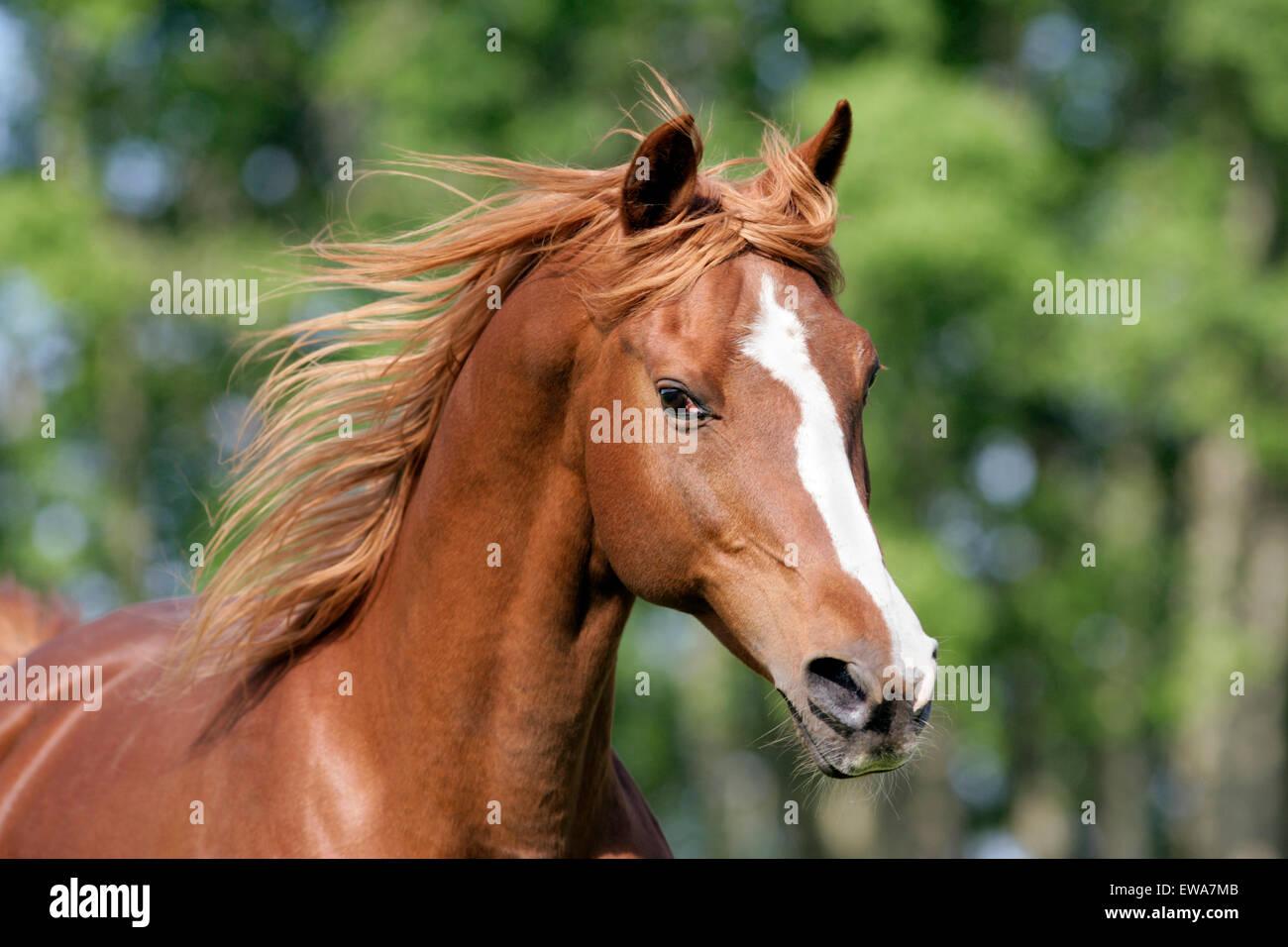 Chestnut Arabian Stallion galloping, Portrait Head, - Stock Image