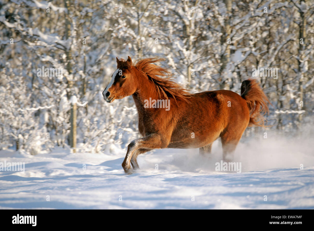 Purebred Chestnut Arabian Mare running through fresh snow Stock Photo
