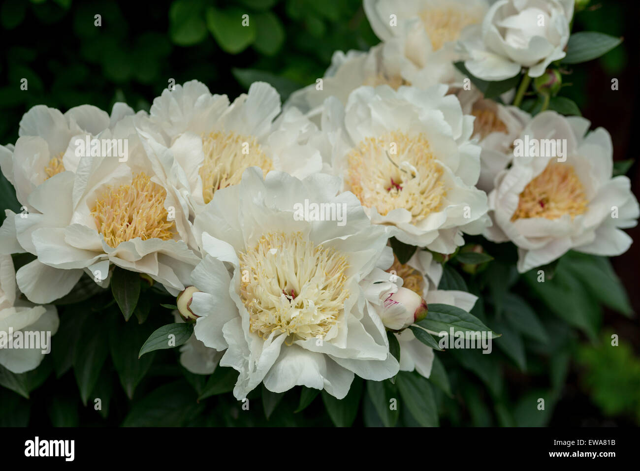 Cluster of white rich blooming peonies peonia - Stock Image