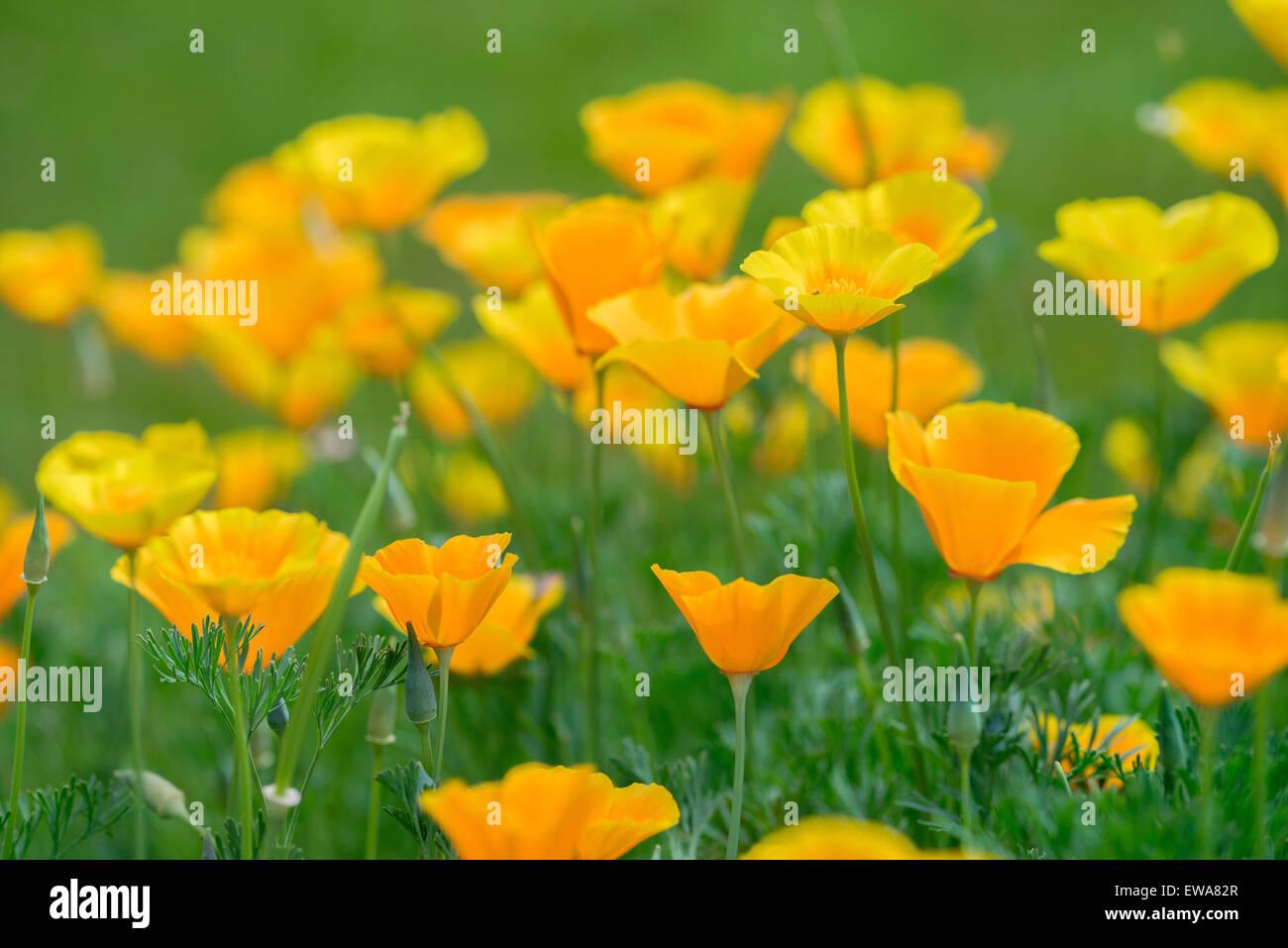 Eschscholzia californica California poppy, poppies,Californian poppy,golden poppy, California sunlight, cup of gold - Stock Image