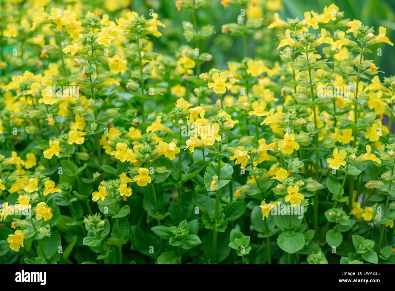Yellow Monkeyflower Mimulus Guttatus Stock Photos Yellow