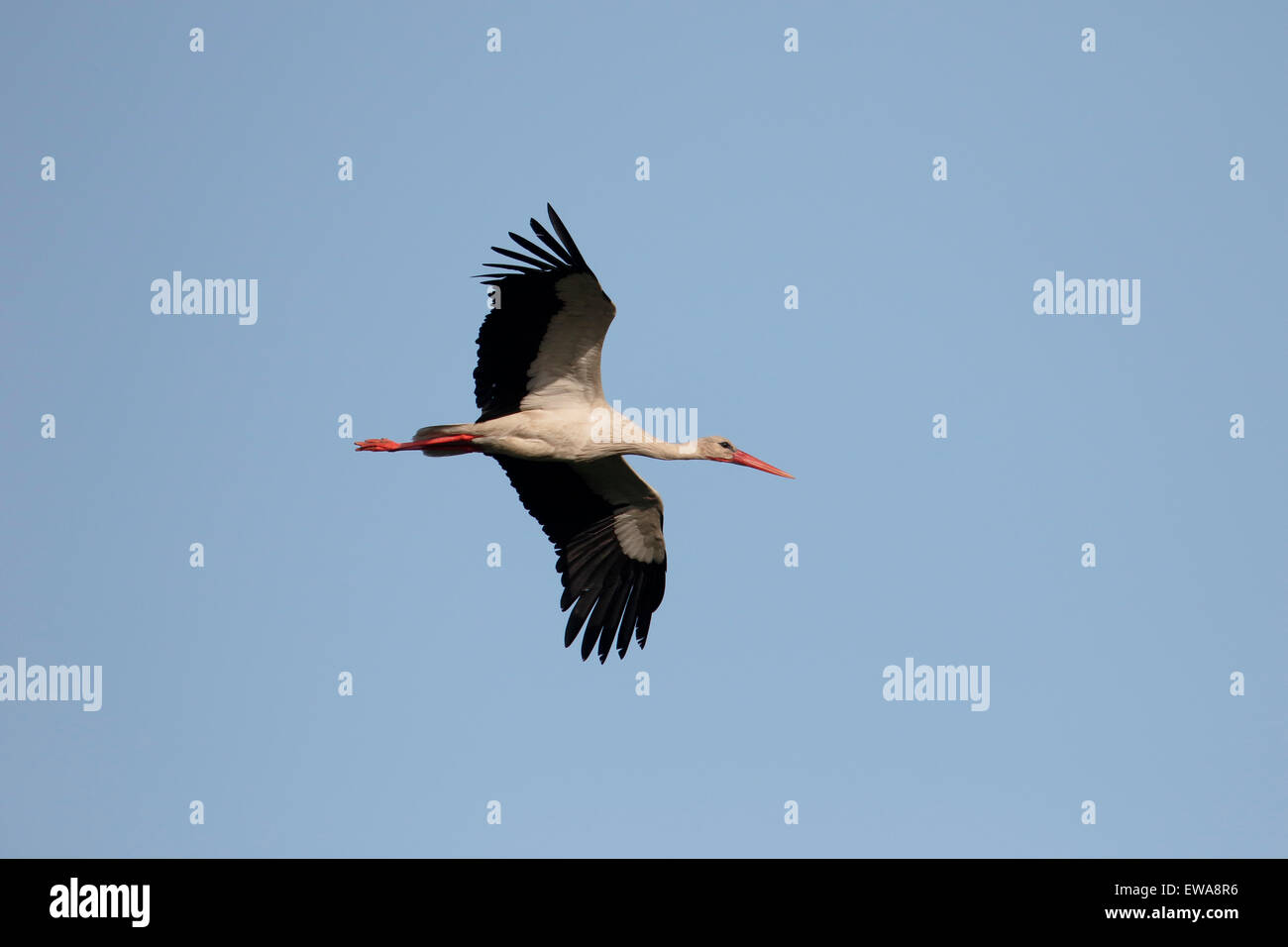White stork, Ciconia ciconia, single bird in flight, Romania, May 2015 - Stock Image