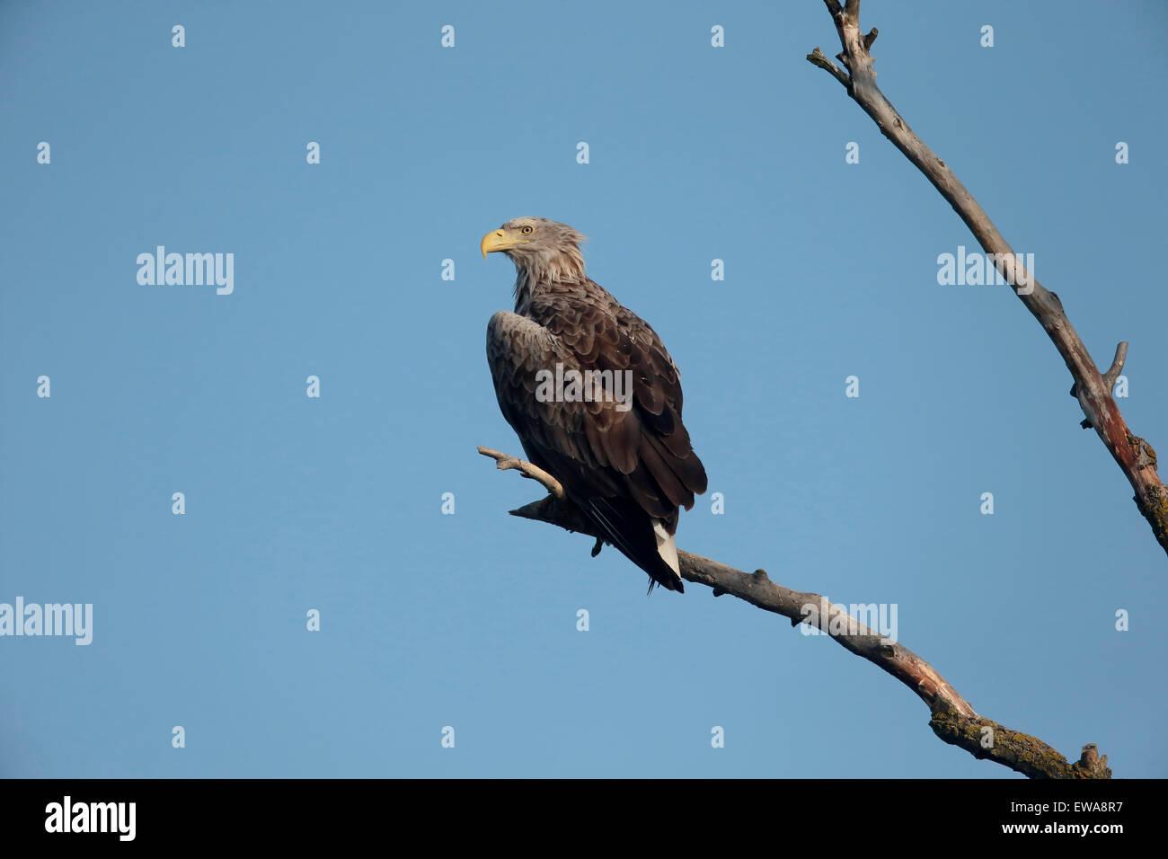 White-tailed sea-eagle, Haliaeetus albicilla, single bird on branch, Romania, May 2015 Stock Photo