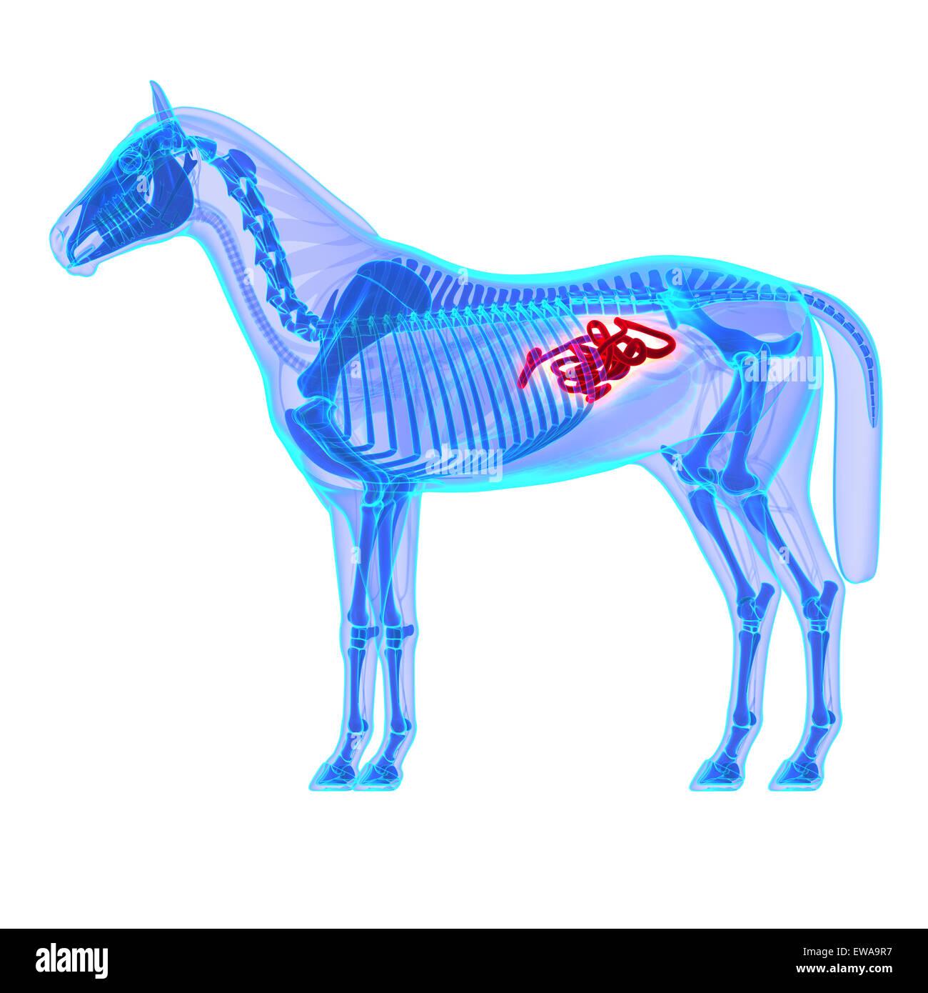 Horse Small Intestines - Horse Equus Anatomy - isolated on white ...