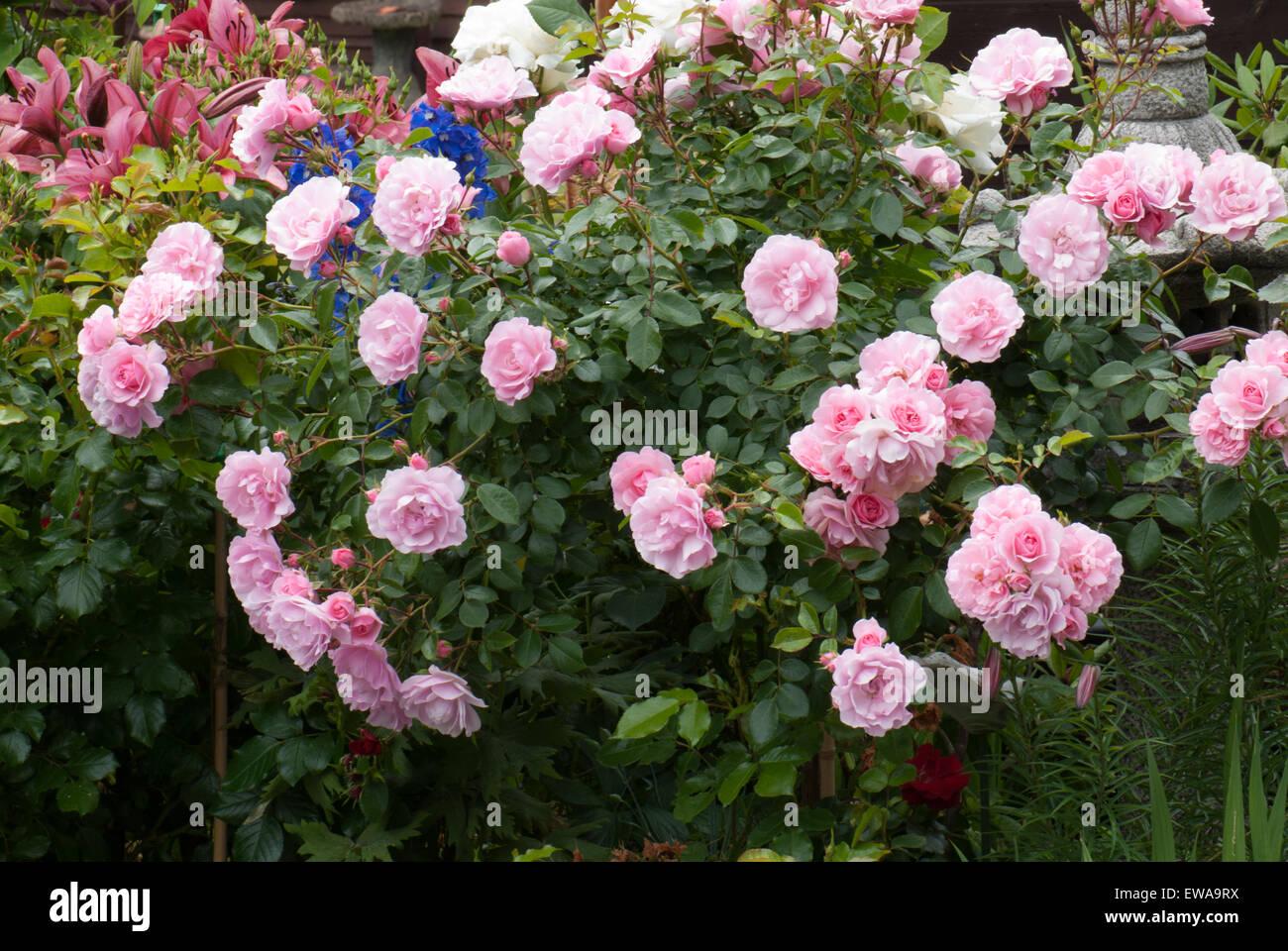 Flower carpet pink standard rose stock photo 84435118 alamy flower carpet pink standard rose mightylinksfo