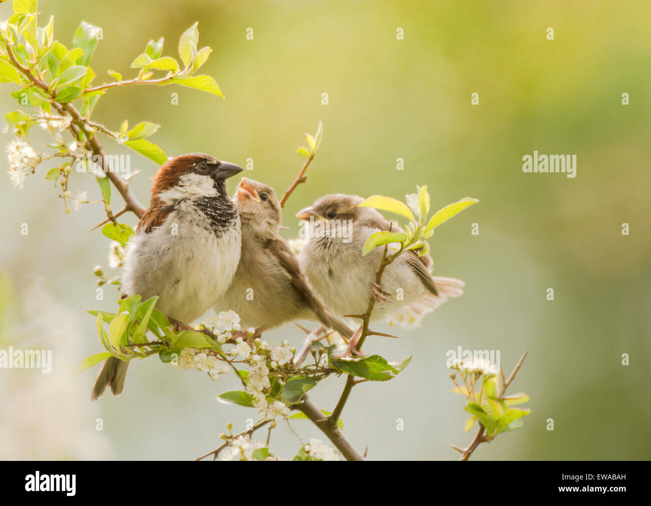 Adult Male House Sparrow with two young, one food begging. - Stock Image