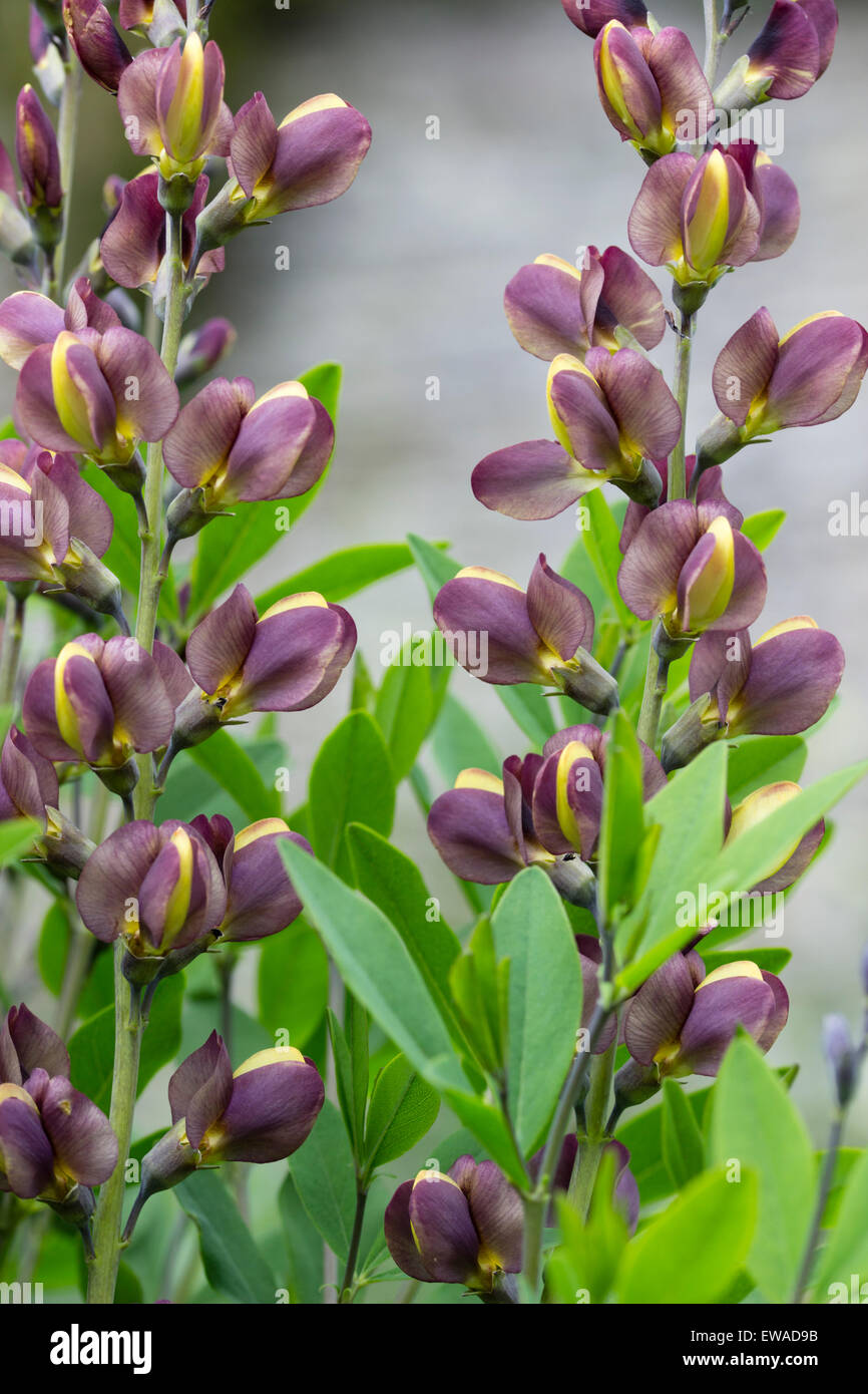 Yellow Pea Flowers Stock Photos Yellow Pea Flowers Stock Images