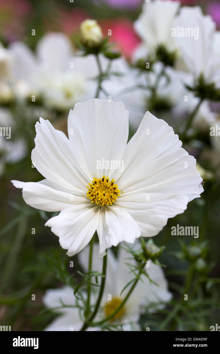 Yellow centered, pure white flower of the bedding annual, Cosmos bipinnatus 'Purity' - Stock Image