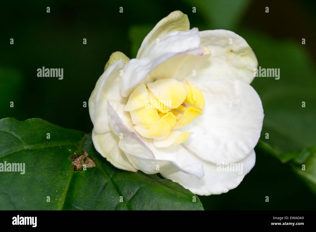 Single, yellow centered white flower of the Chinese allspice, Sinocalycanthus chinensis - Stock Image