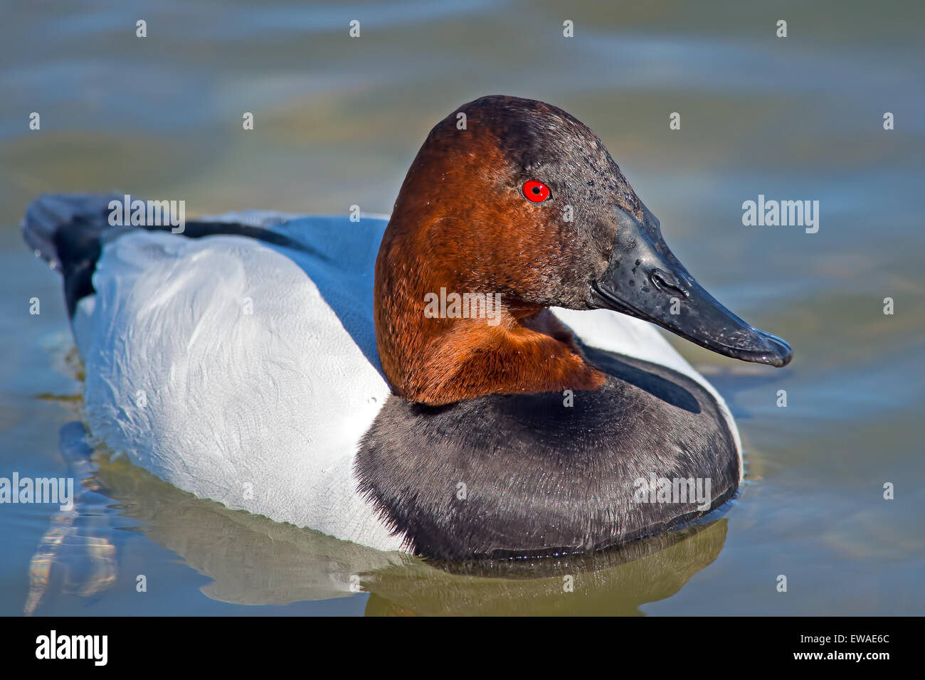 Canvasback Duck floating in the water - Stock Image