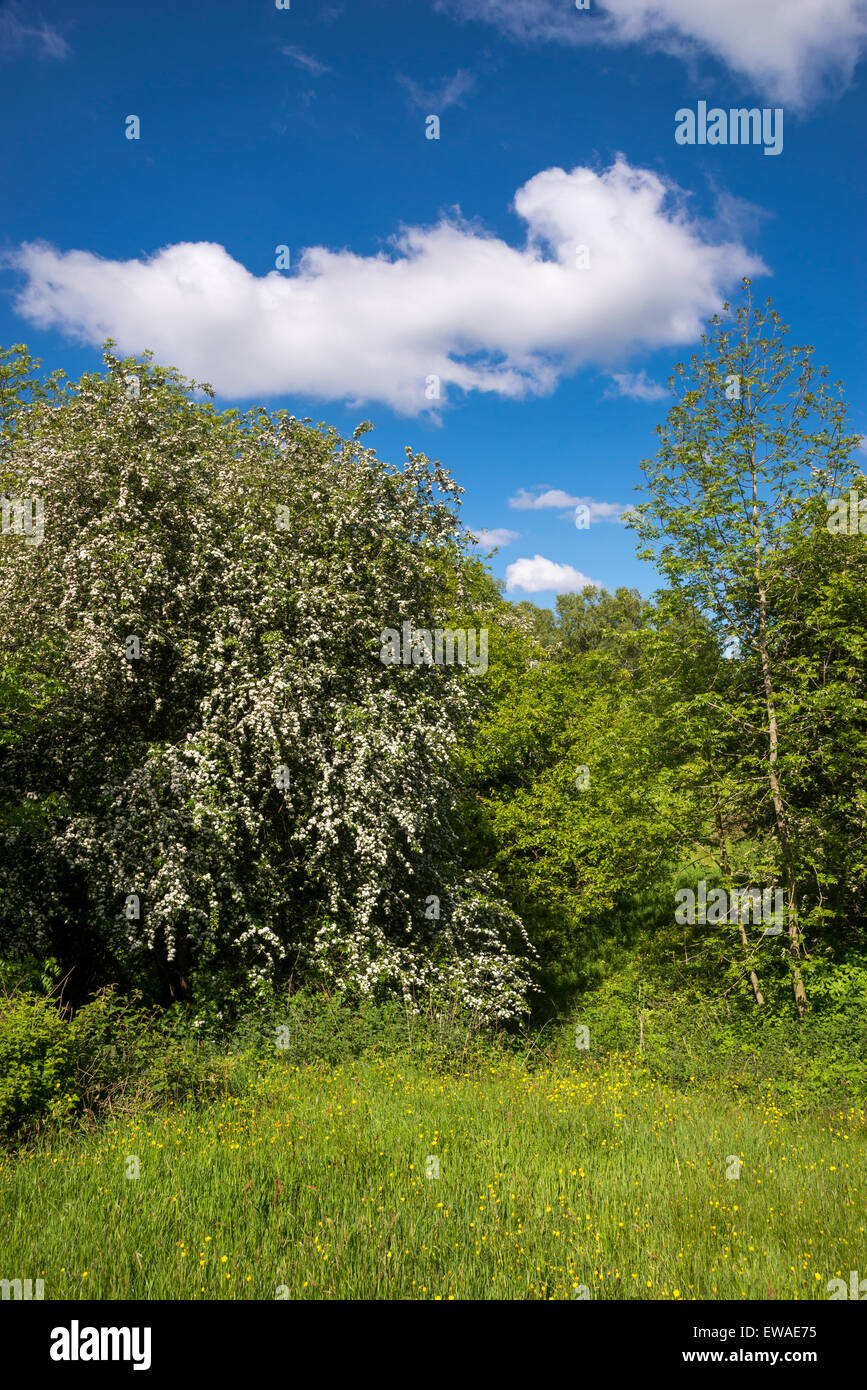 Hawthorn tree in full bloom in a colourful early summer landscape in England. - Stock Image