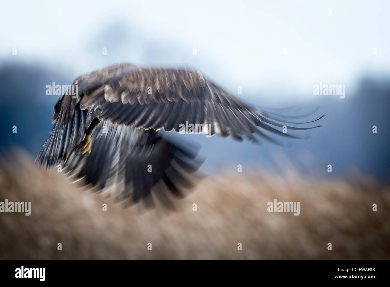 Juvenile eagle in motion blur, with tricolored background. - Stock Image
